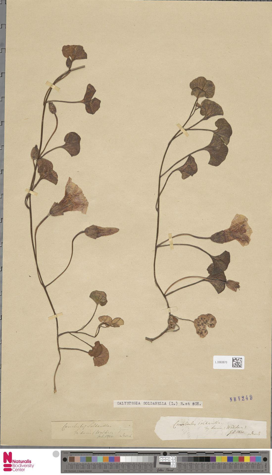 L.3363870 | Calystegia soldanella (L.) R.Br.
