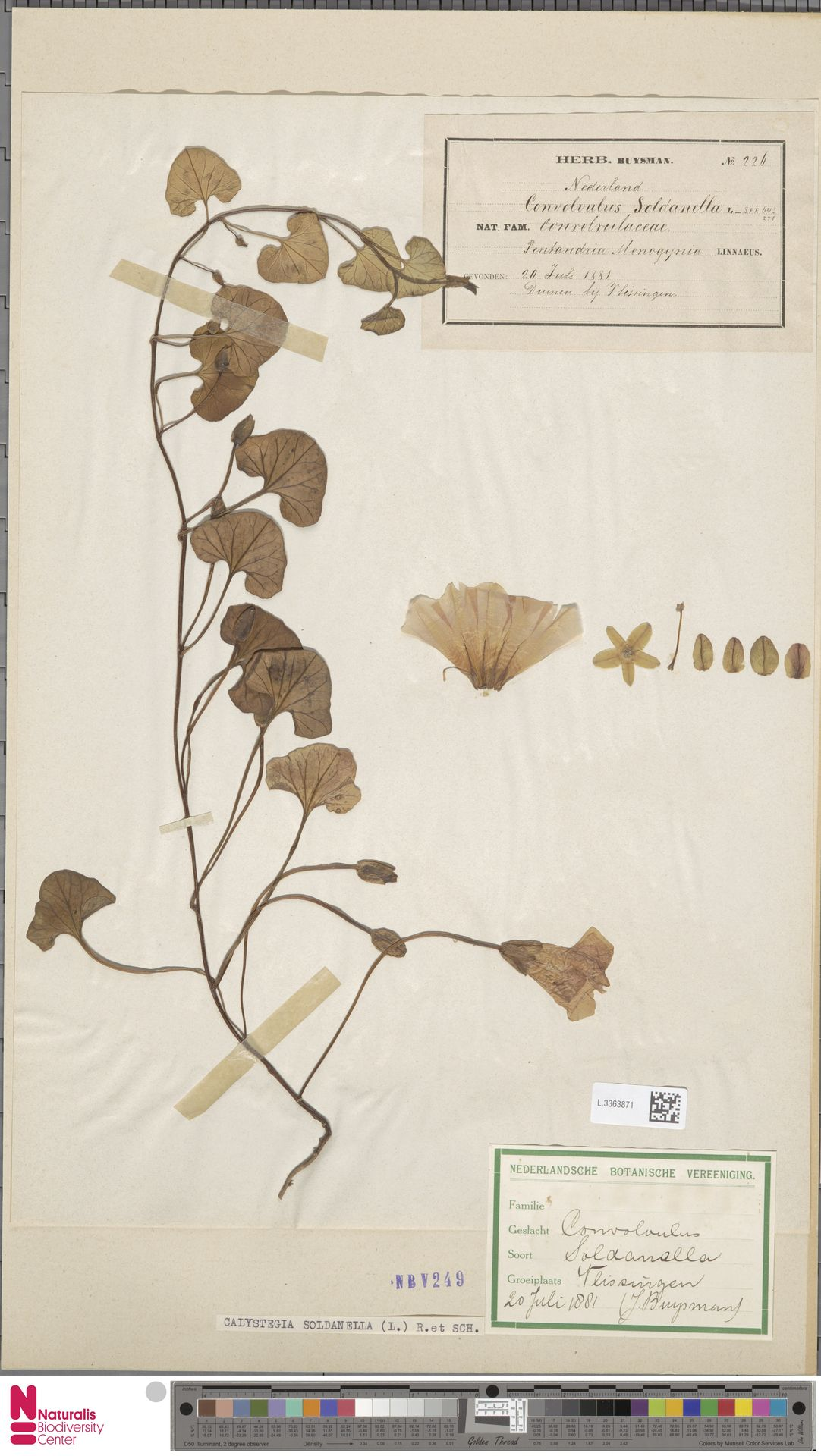 L.3363871 | Calystegia soldanella (L.) R.Br.