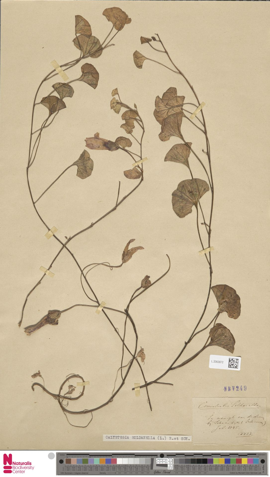 L.3363872 | Calystegia soldanella (L.) R.Br.