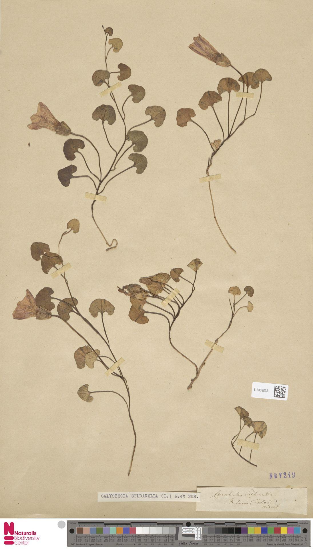 L.3363873 | Calystegia soldanella (L.) R.Br.