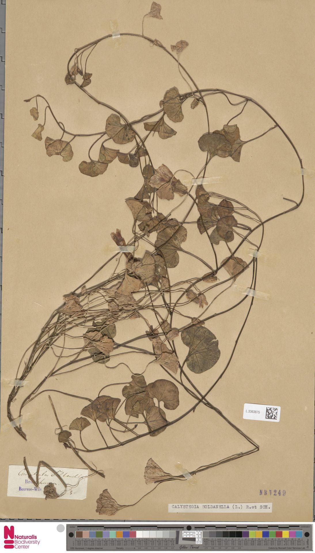 L.3363875 | Calystegia soldanella (L.) R.Br.