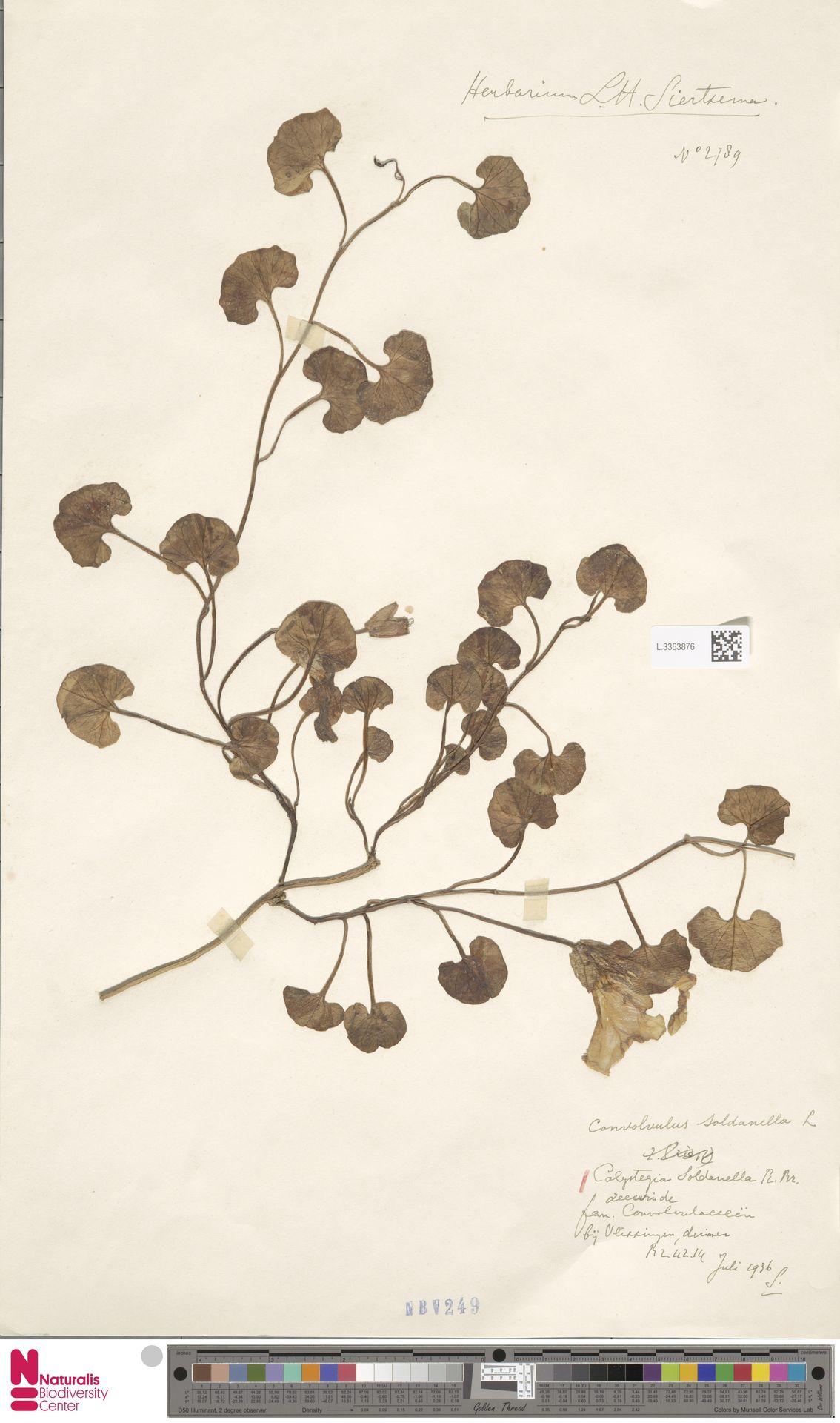 L.3363876 | Calystegia soldanella (L.) R.Br.