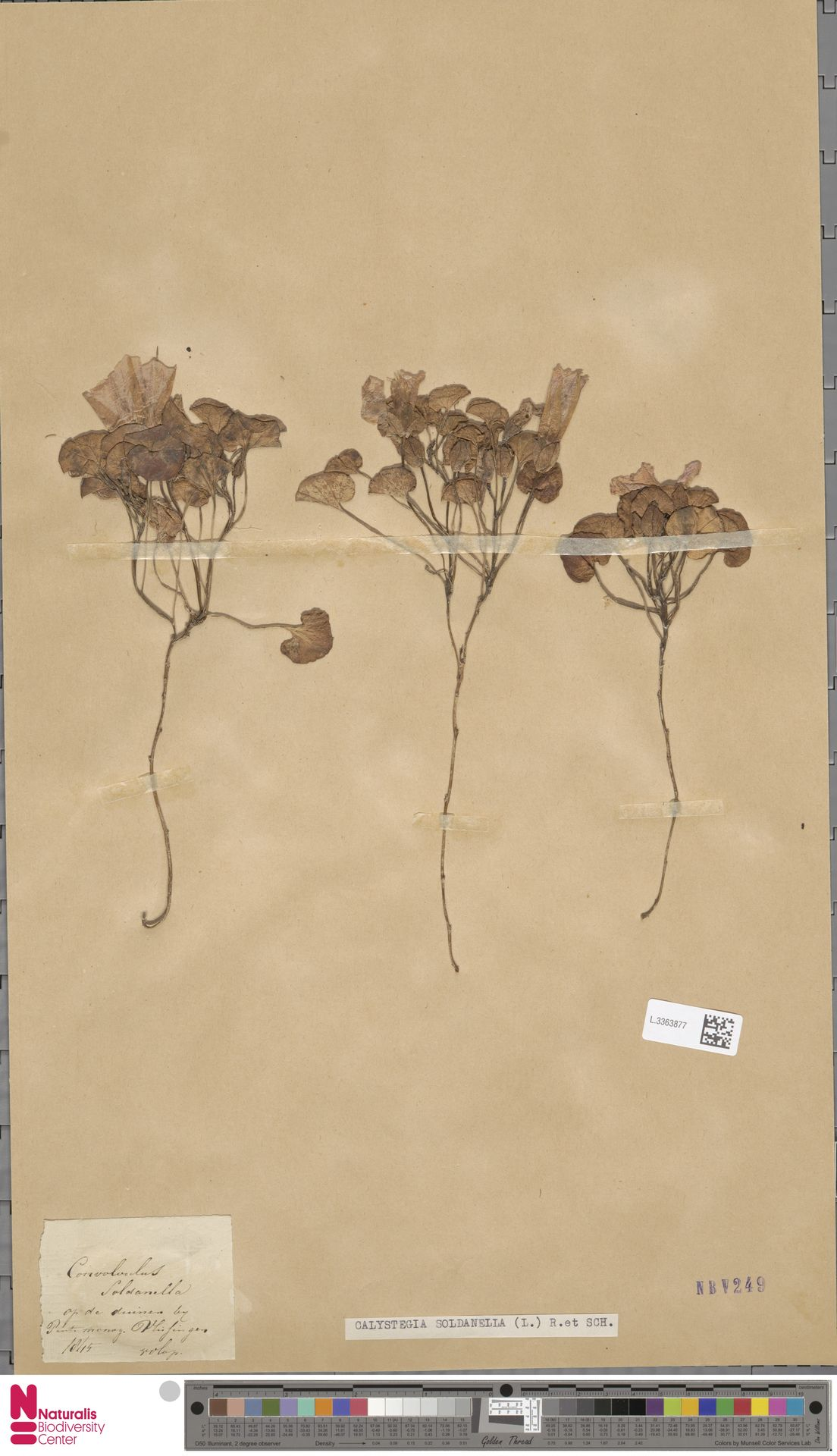 L.3363877 | Calystegia soldanella (L.) R.Br.