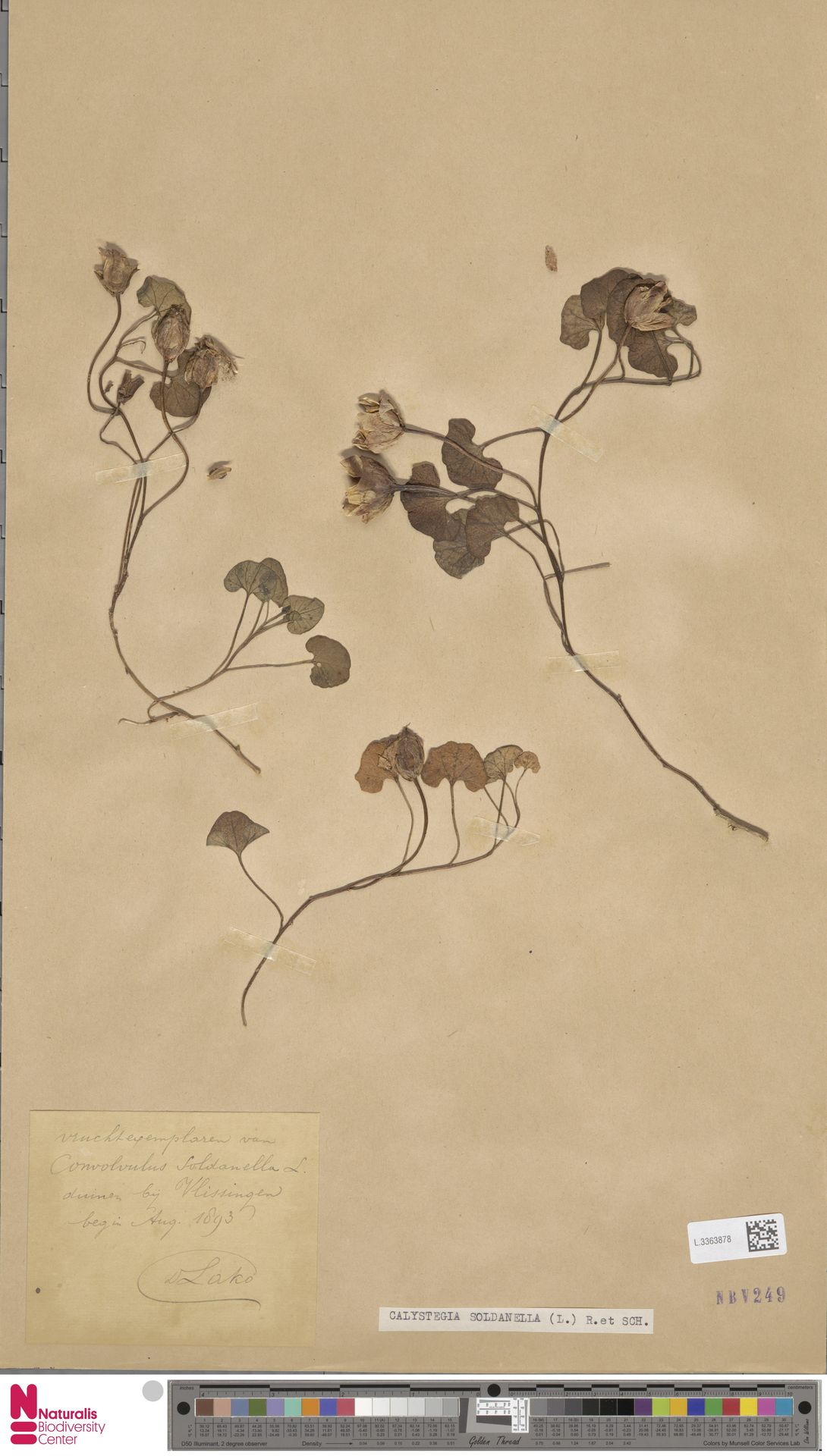 L.3363878 | Calystegia soldanella (L.) R.Br.