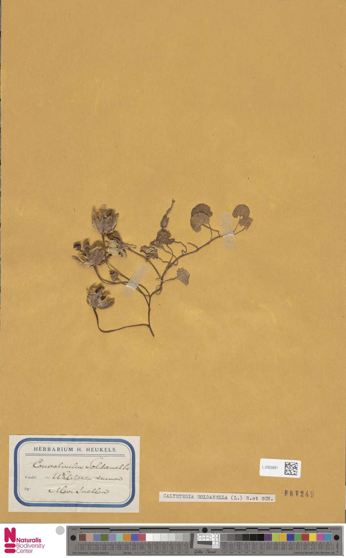 L.3363881 | Calystegia soldanella (L.) R.Br.