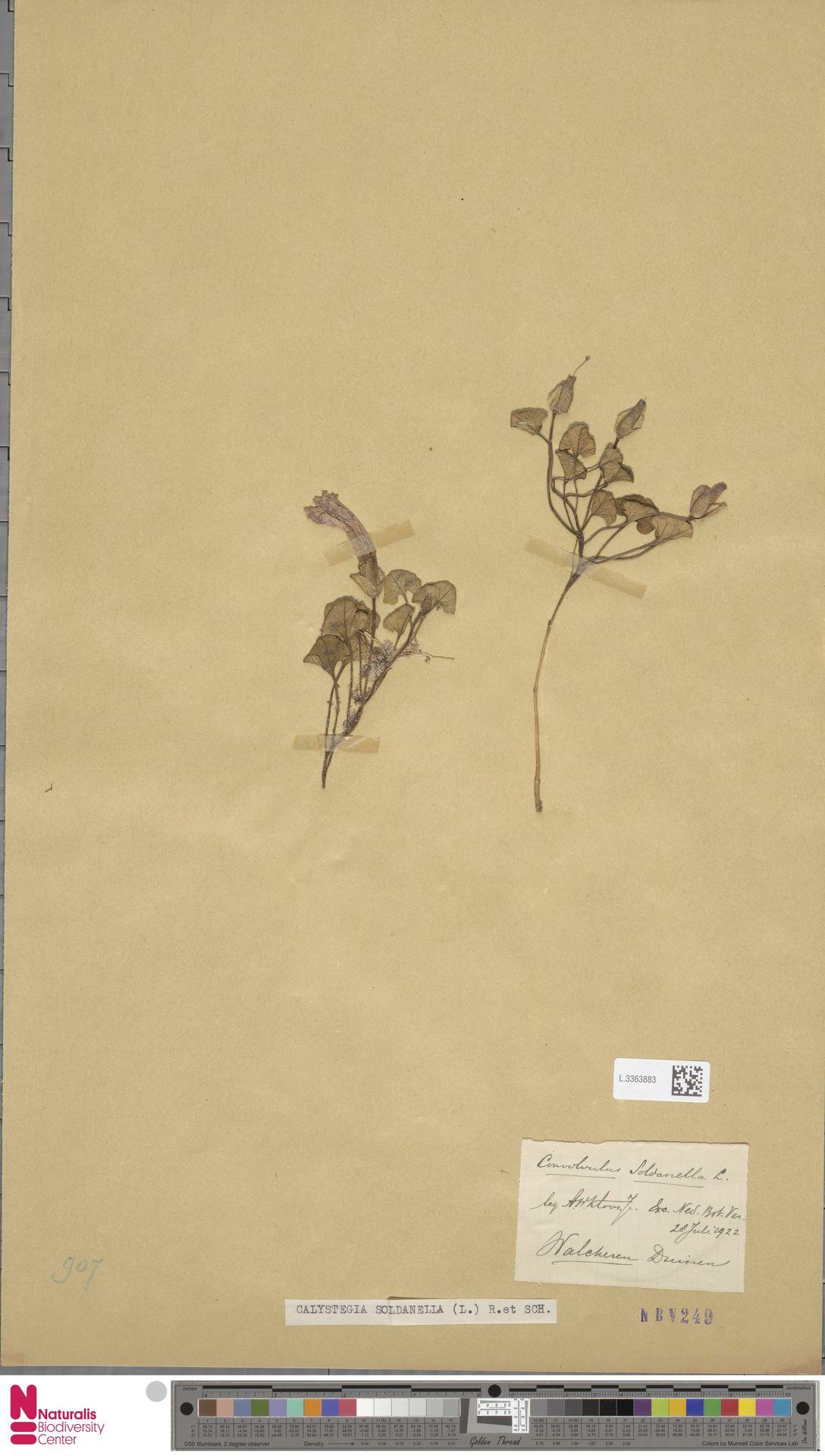 L.3363883   Calystegia soldanella (L.) R.Br.