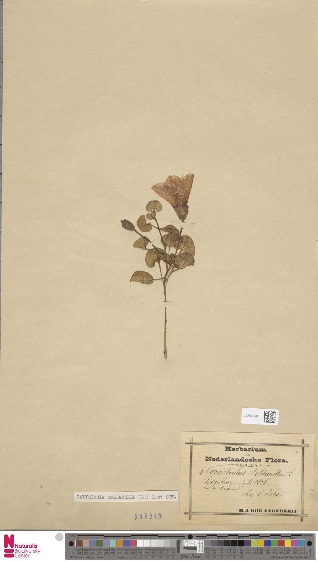 L.3363888 | Calystegia soldanella (L.) R.Br.