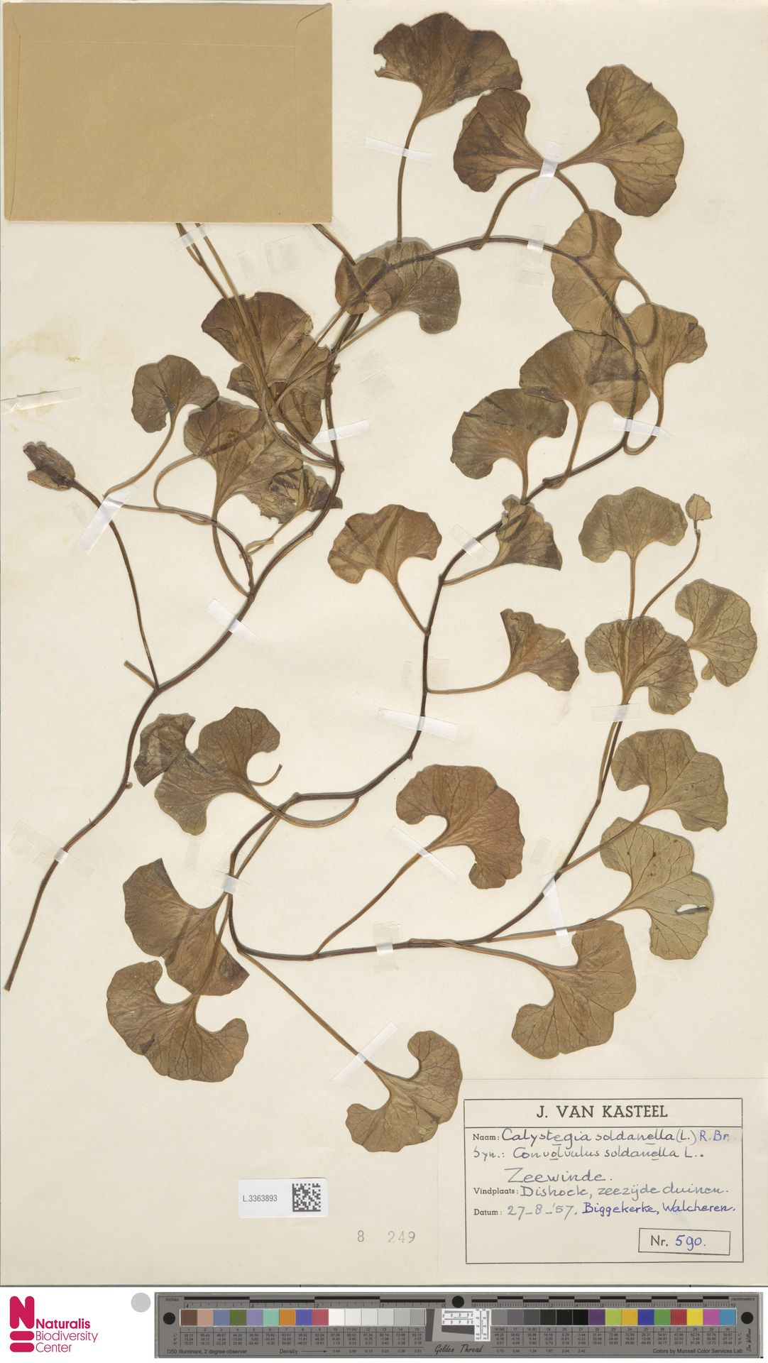 L.3363893   Calystegia soldanella (L.) R.Br.