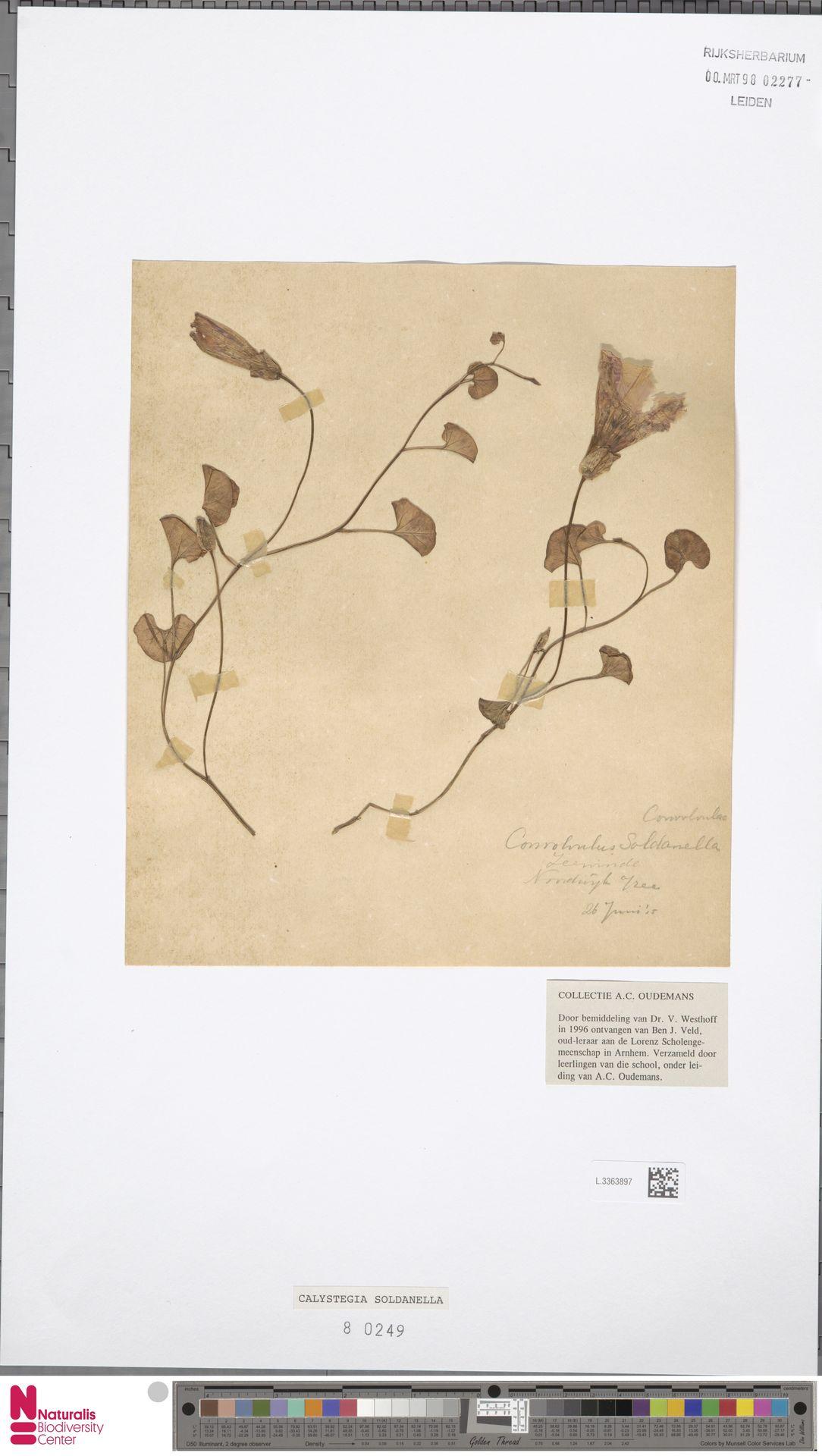 L.3363897   Calystegia soldanella (L.) R.Br.
