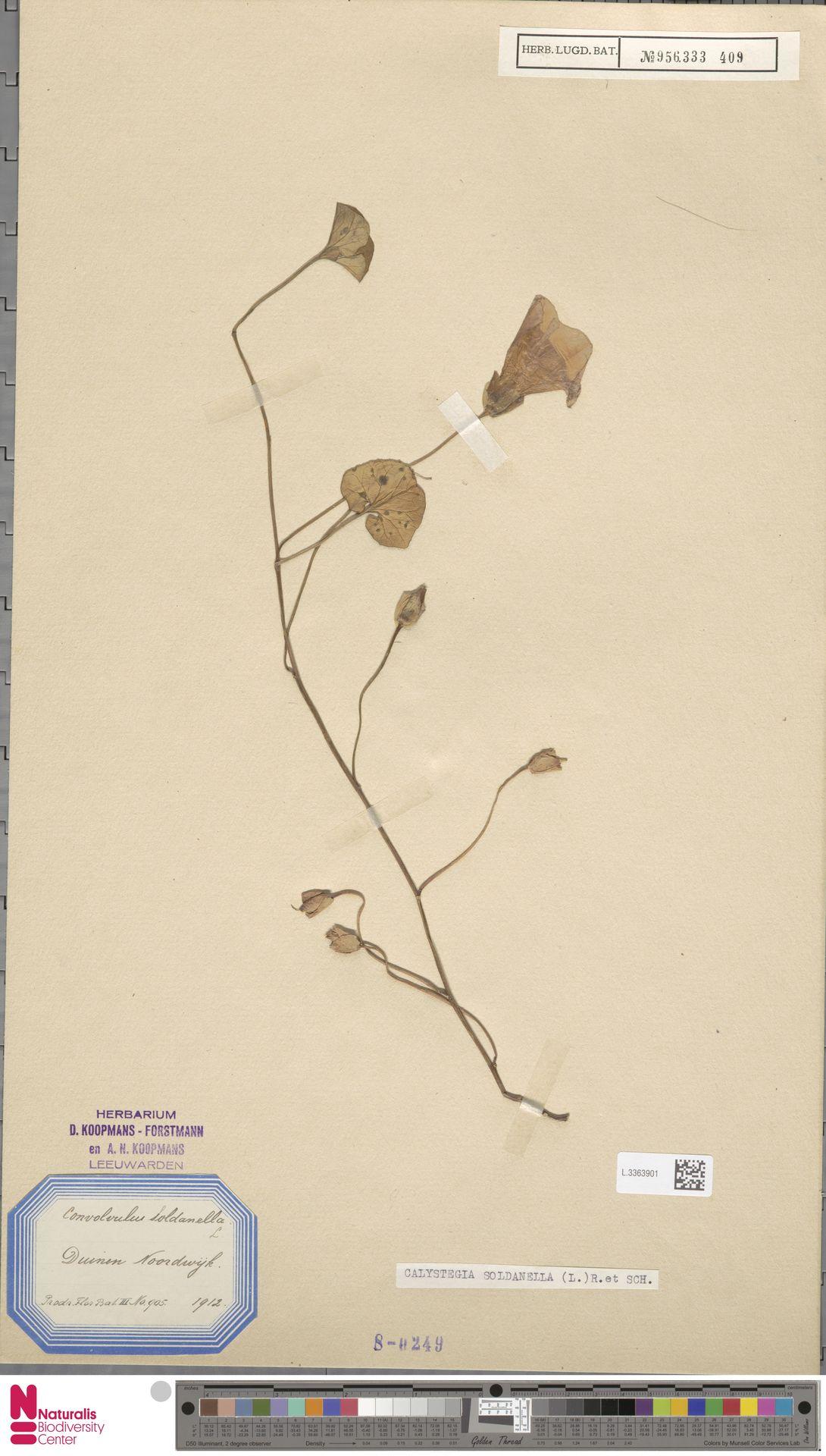 L.3363901 | Calystegia soldanella (L.) R.Br.