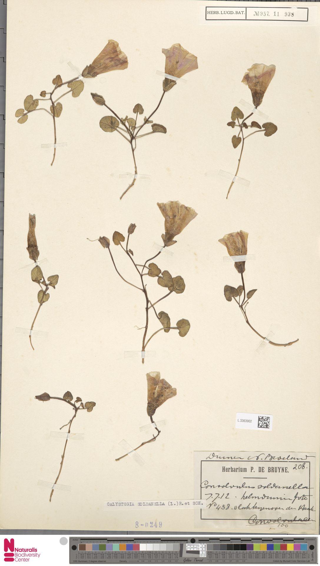 L.3363902 | Calystegia soldanella (L.) R.Br.
