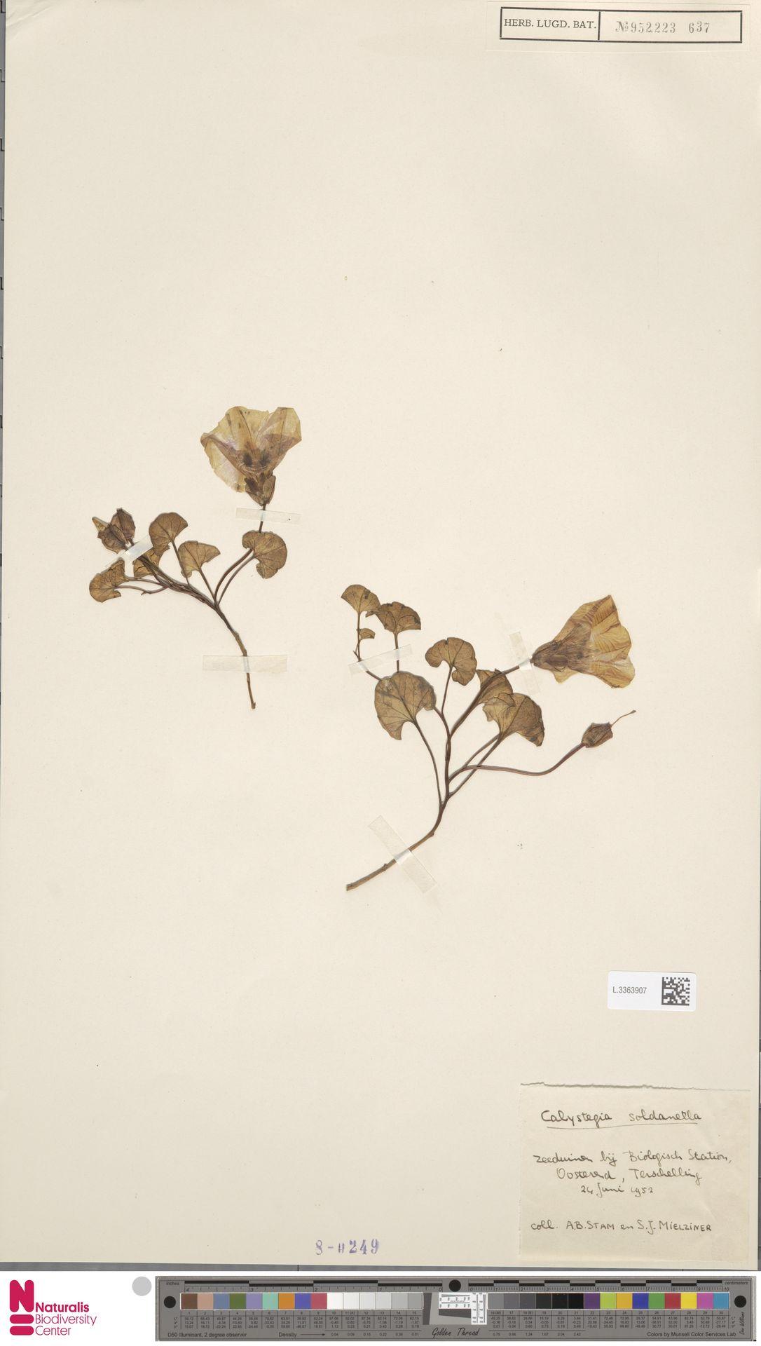 L.3363907   Calystegia soldanella (L.) R.Br.
