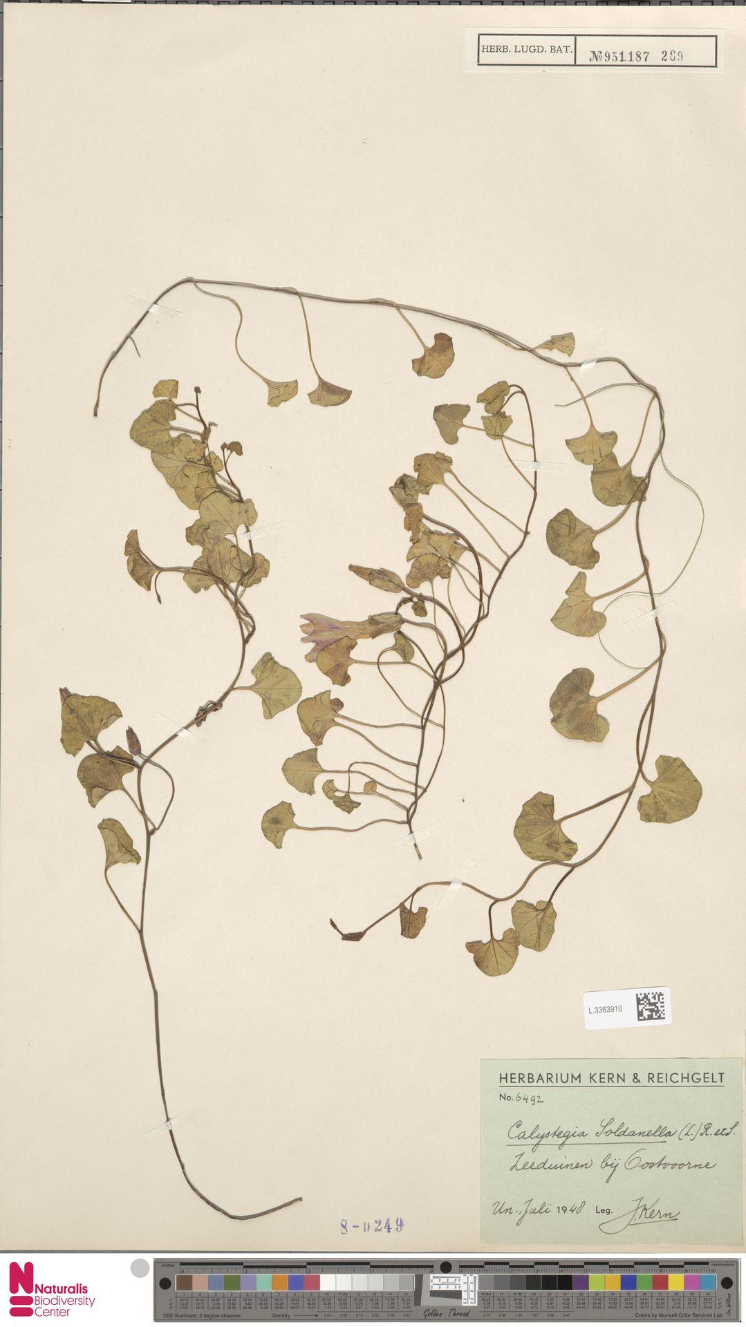L.3363910 | Calystegia soldanella (L.) R.Br.