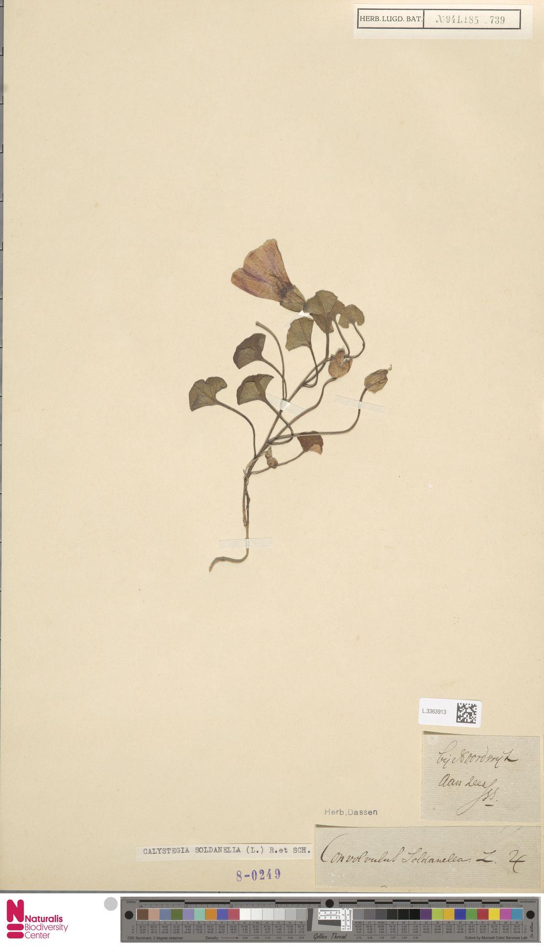 L.3363913 | Calystegia soldanella (L.) R.Br.