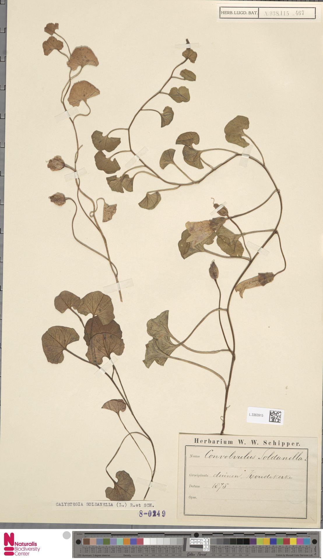 L.3363915 | Calystegia soldanella (L.) R.Br.