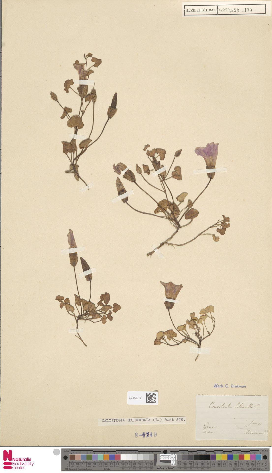 L.3363916 | Calystegia soldanella (L.) R.Br.