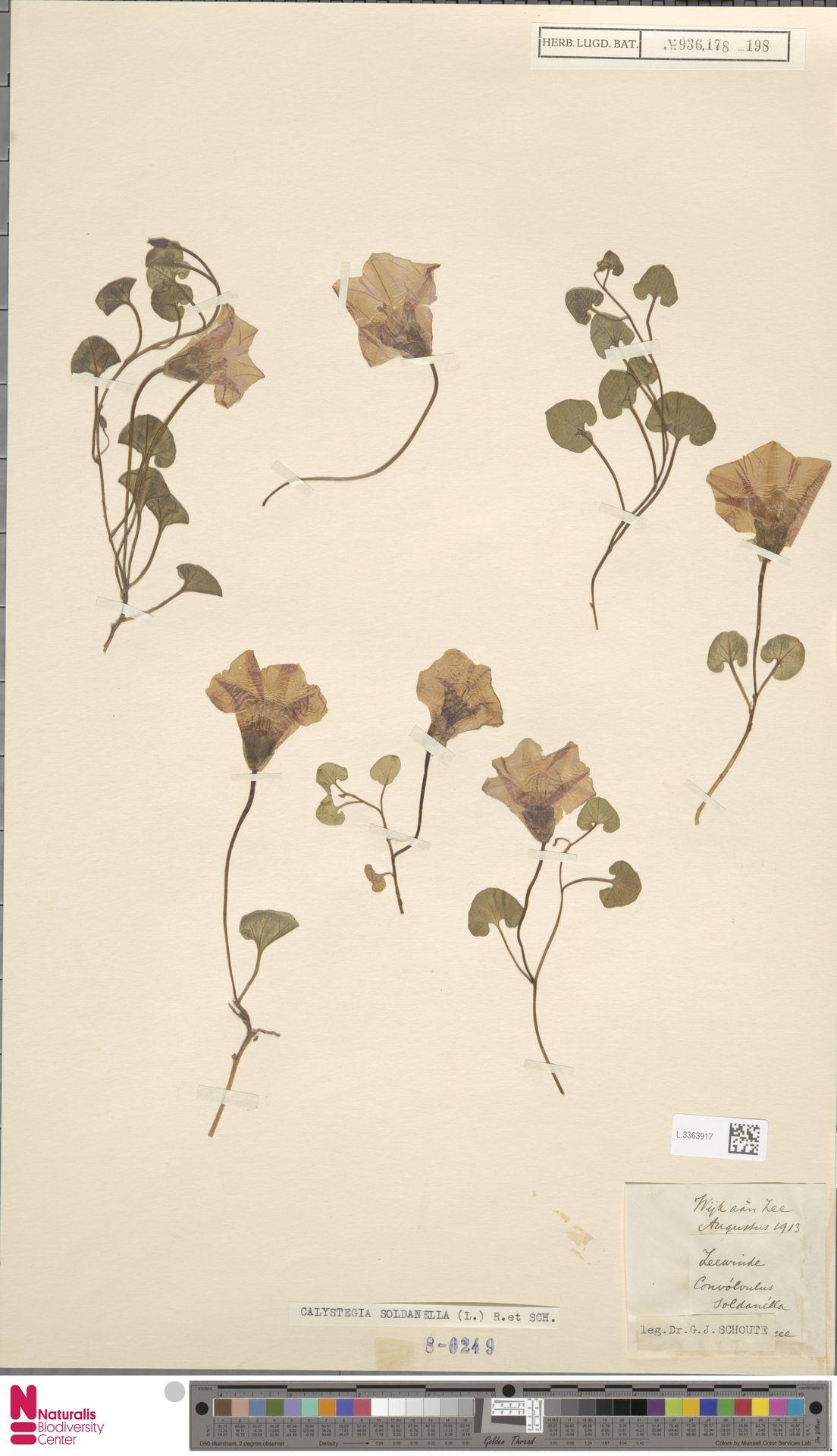L.3363917 | Calystegia soldanella (L.) R.Br.