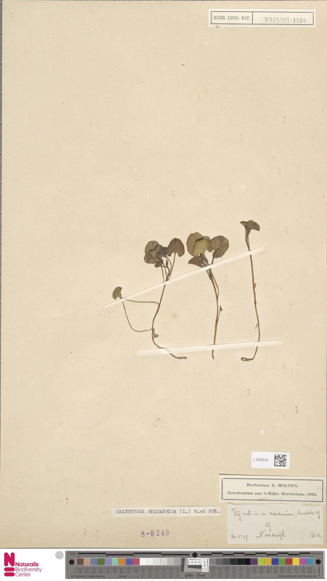 L.3363918 | Calystegia soldanella (L.) R.Br.