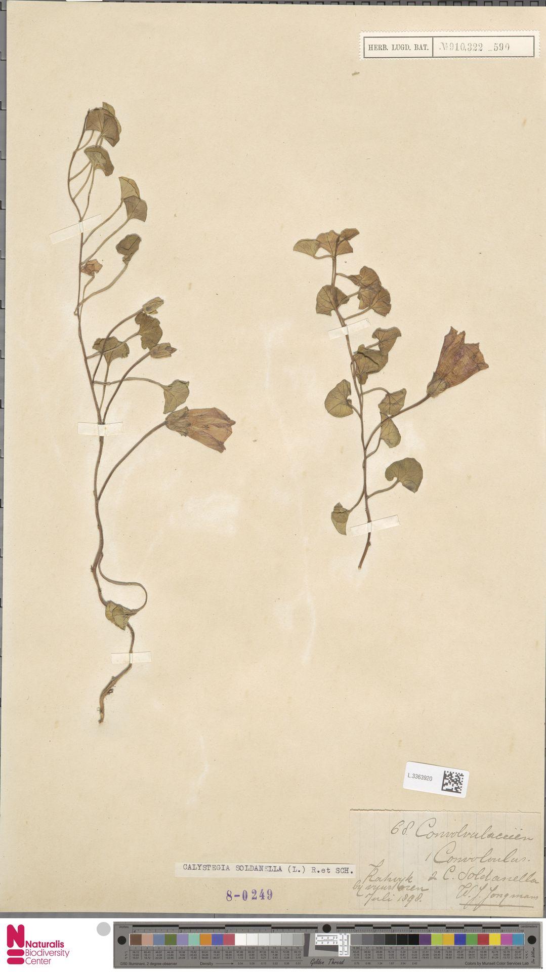 L.3363920 | Calystegia soldanella (L.) R.Br.