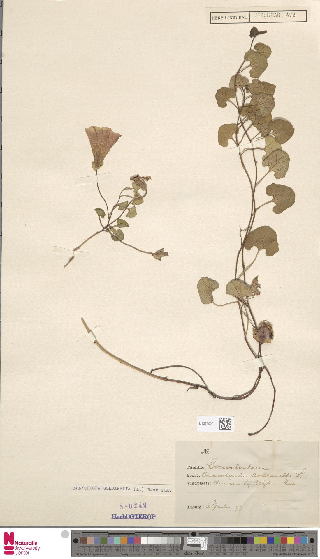 L.3363922 | Calystegia soldanella (L.) R.Br.