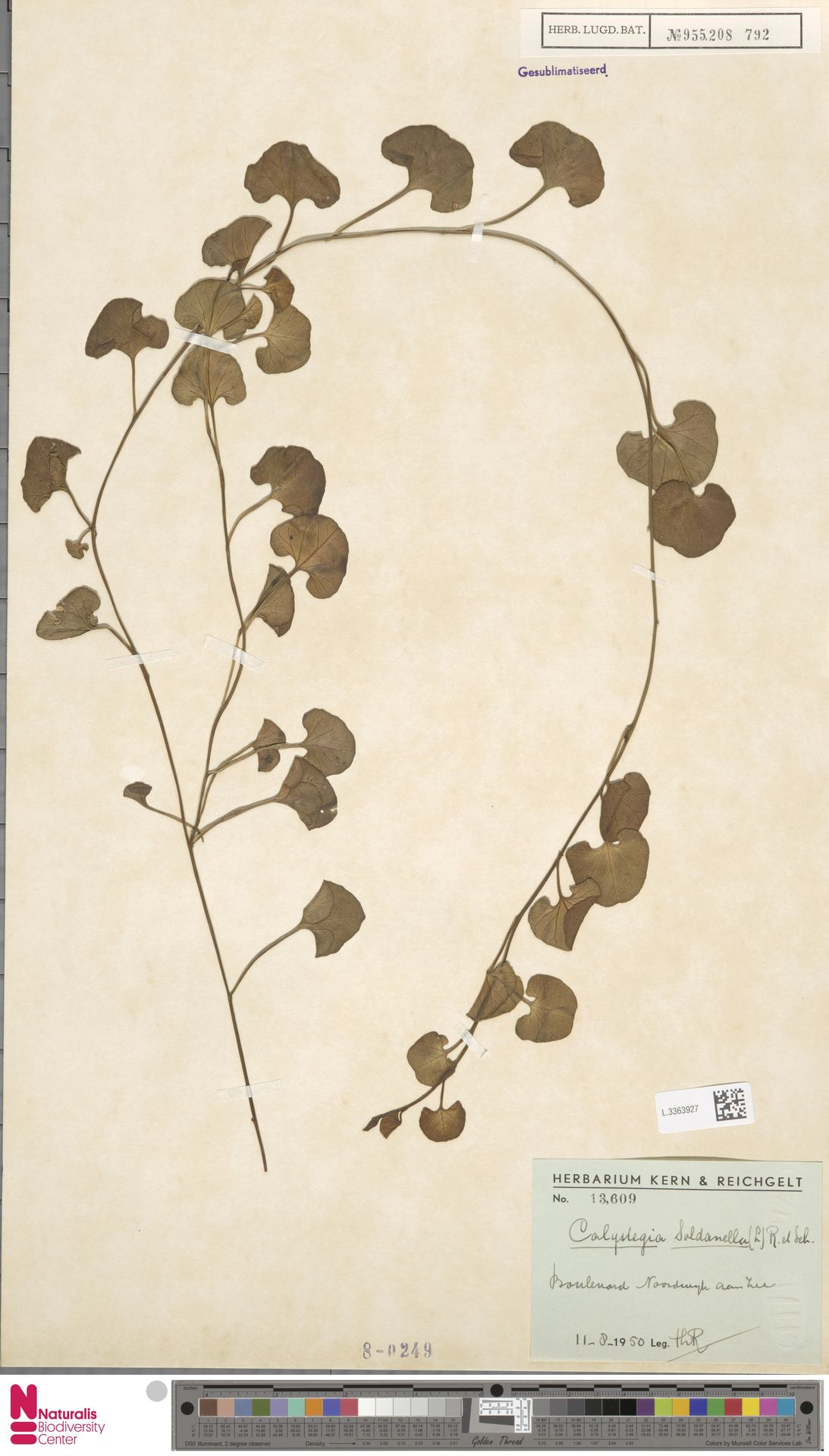 L.3363927 | Calystegia soldanella (L.) R.Br.