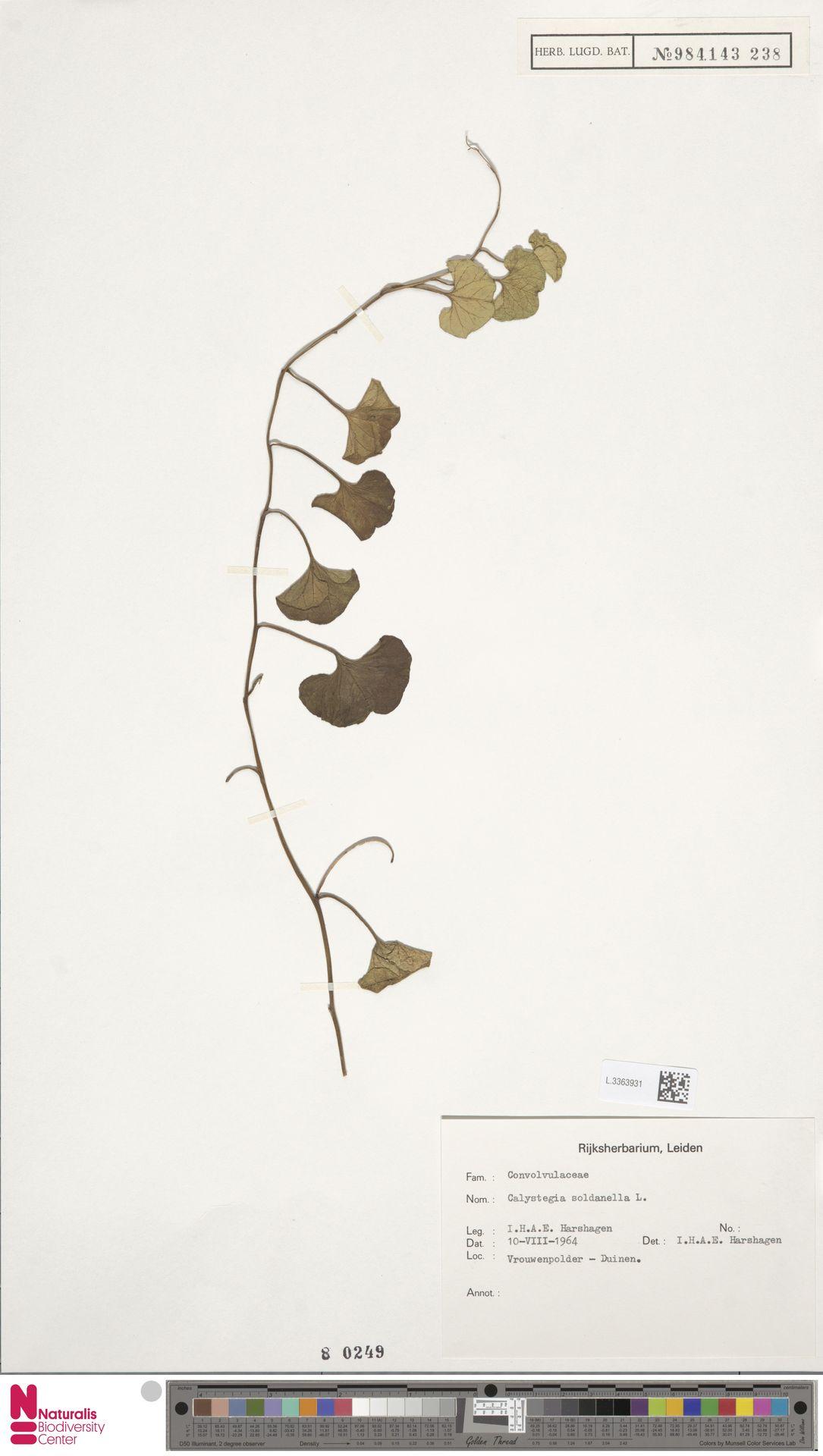 L.3363931 | Calystegia soldanella (L.) R.Br.