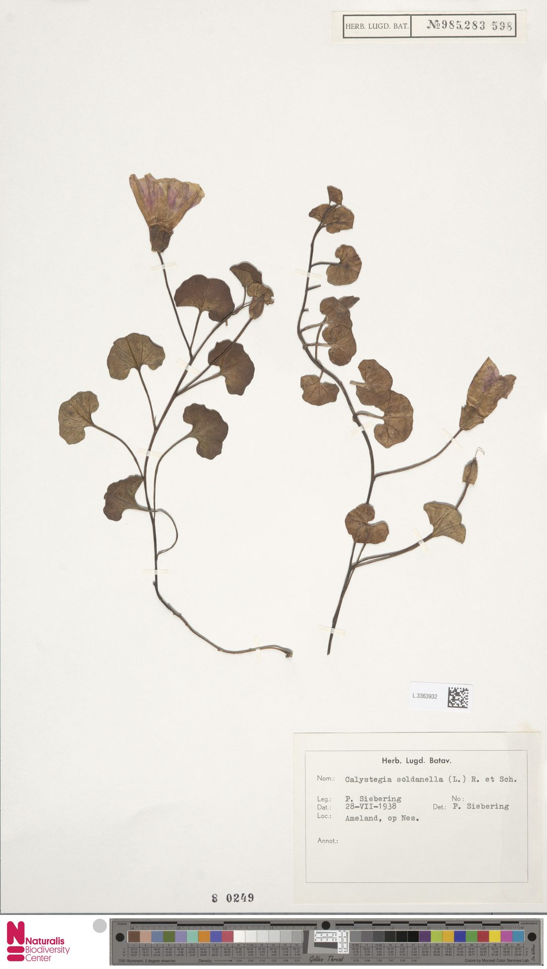 L.3363932 | Calystegia soldanella (L.) R.Br.