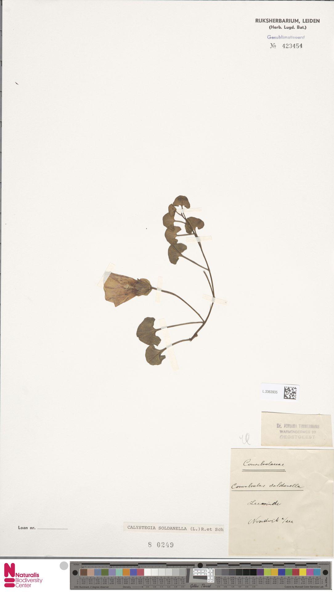 L.3363935 | Calystegia soldanella (L.) R.Br.