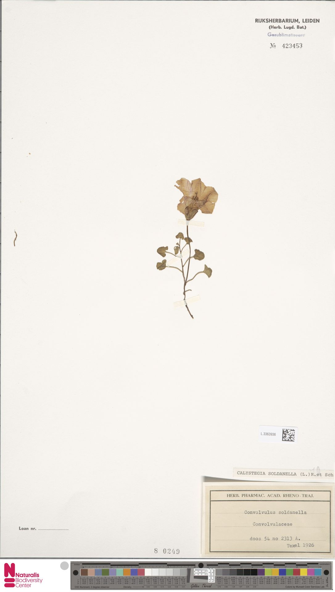 L.3363936   Calystegia soldanella (L.) R.Br.