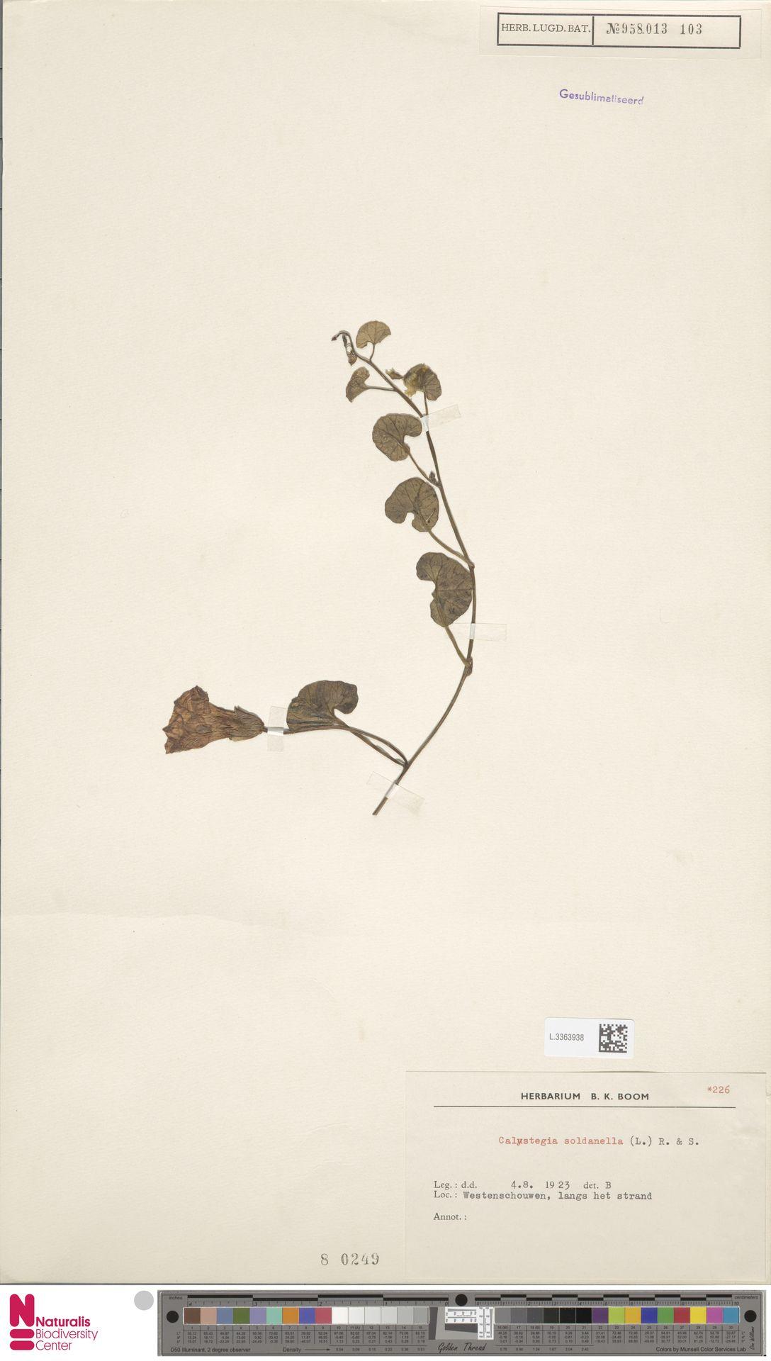 L.3363938 | Calystegia soldanella (L.) R.Br.