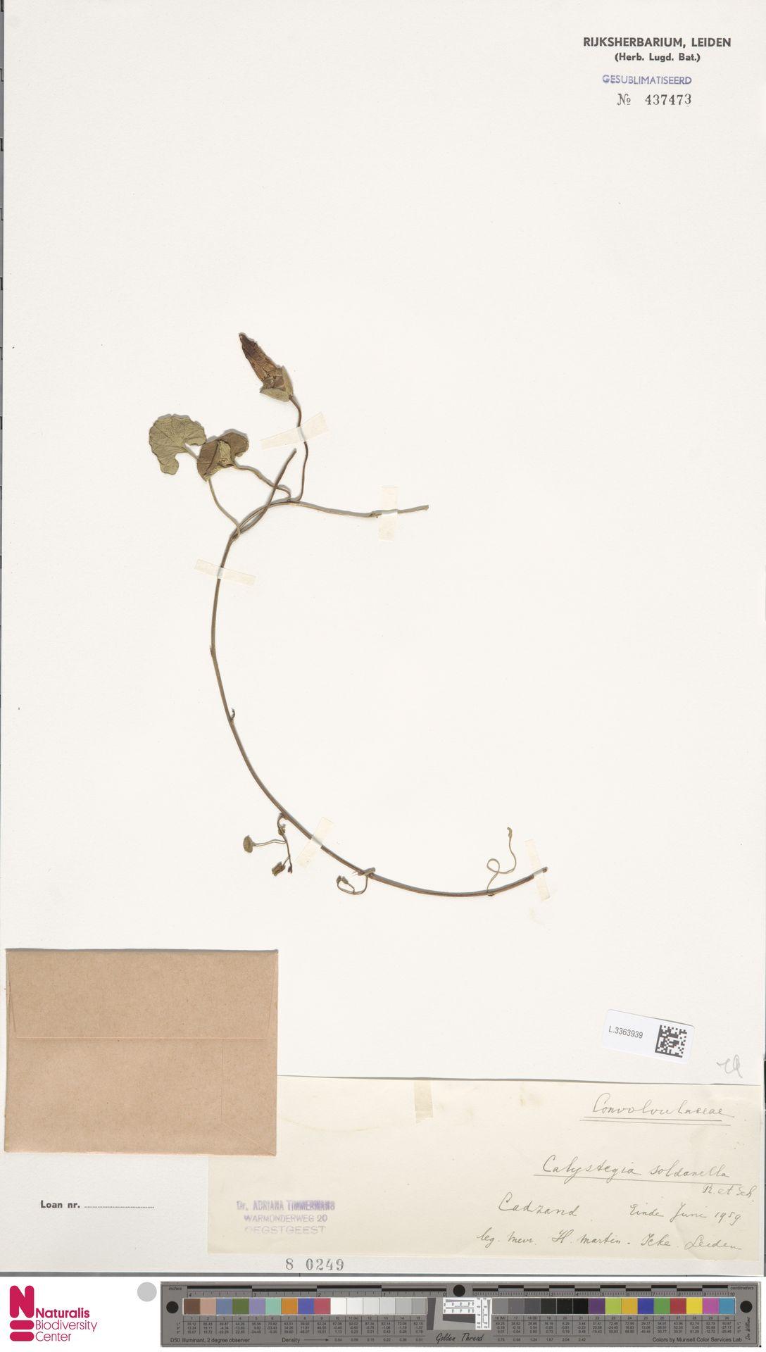 L.3363939 | Calystegia soldanella (L.) R.Br.