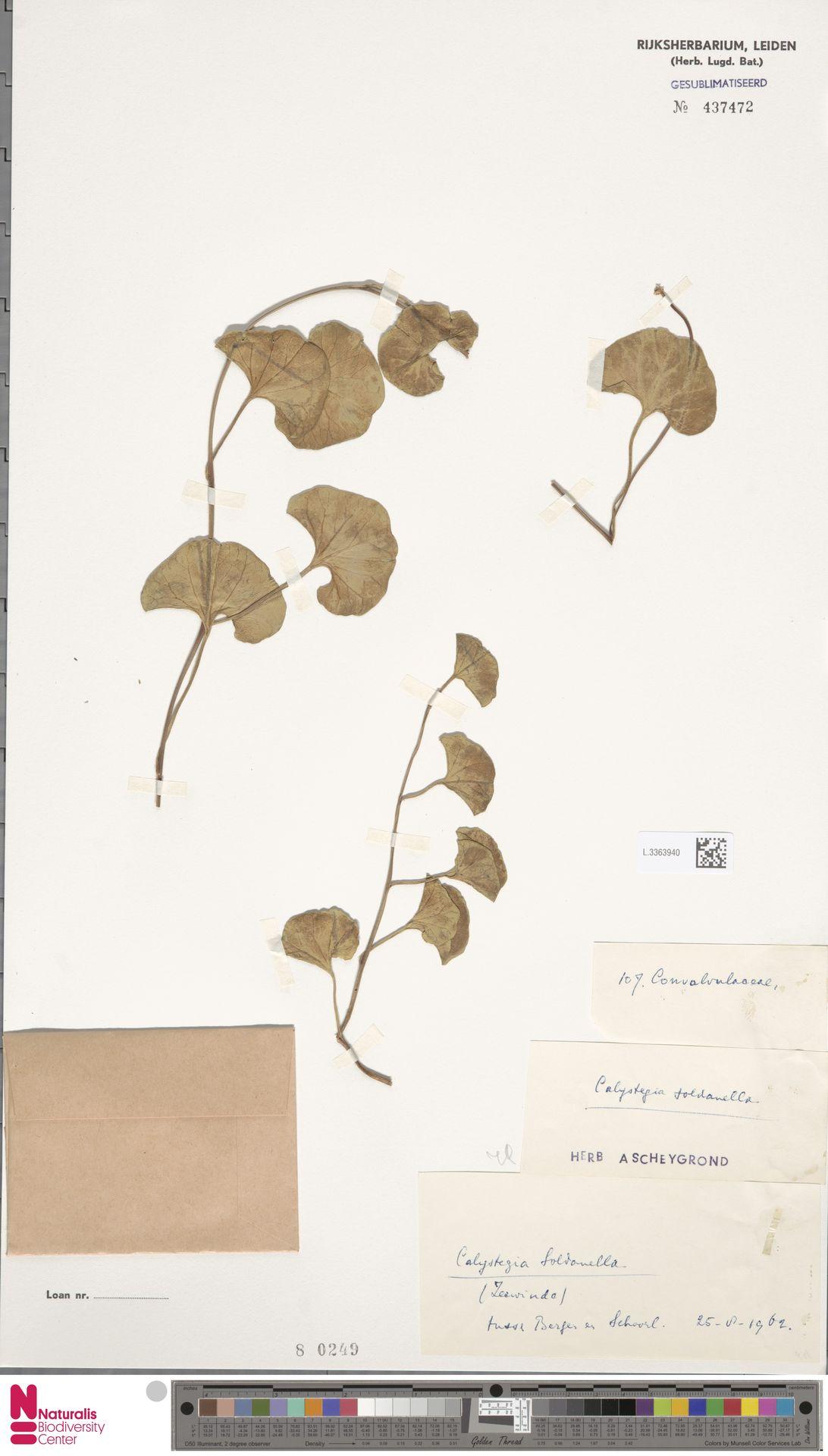 L.3363940   Calystegia soldanella (L.) R.Br.