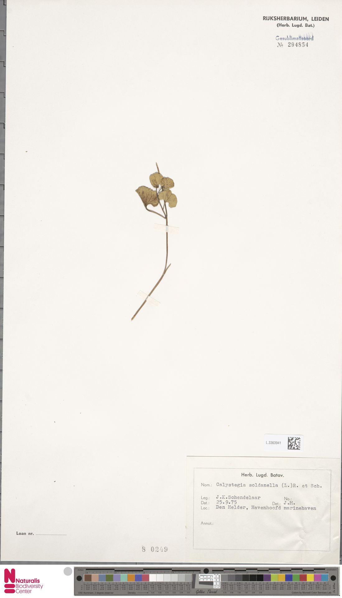 L.3363941 | Calystegia soldanella (L.) R.Br.