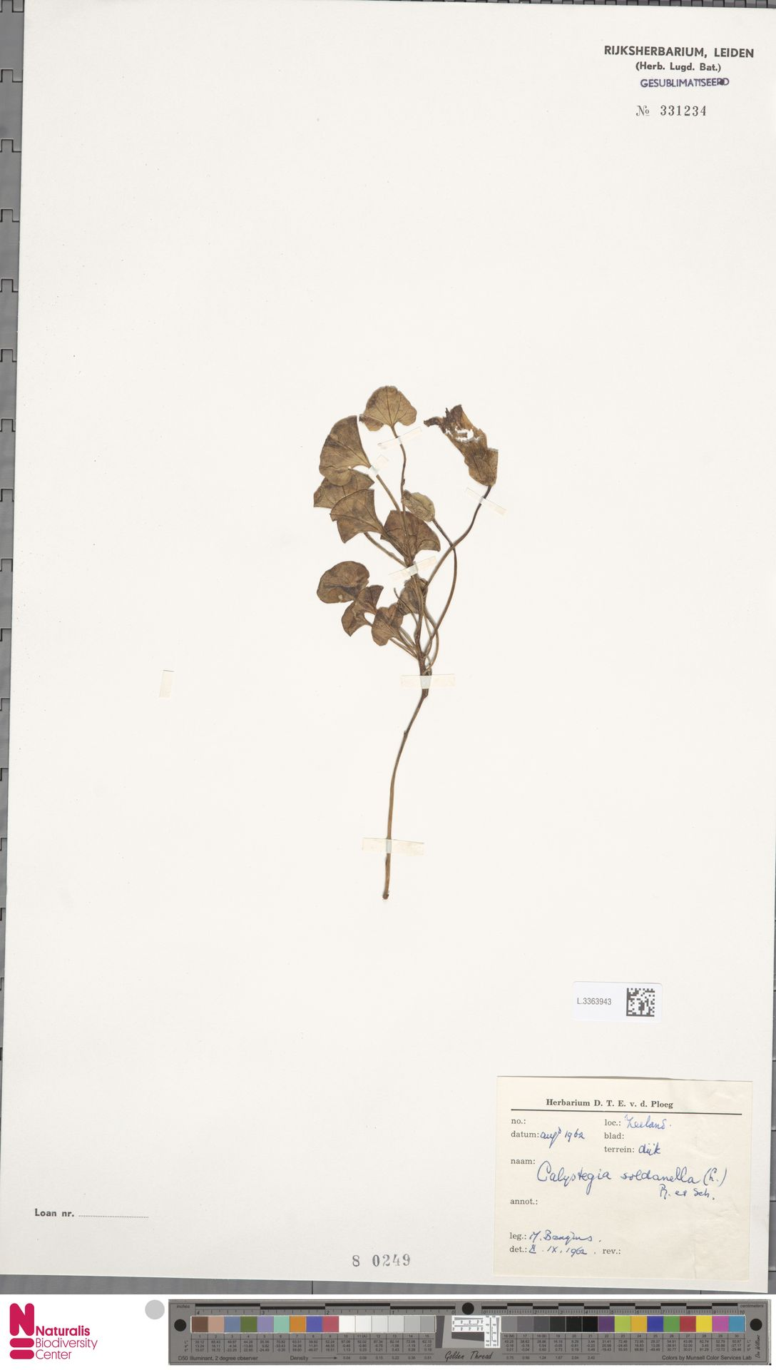 L.3363943 | Calystegia soldanella (L.) R.Br.