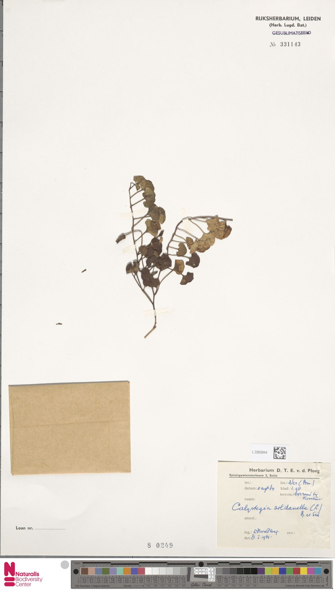 L.3363944 | Calystegia soldanella (L.) R.Br.