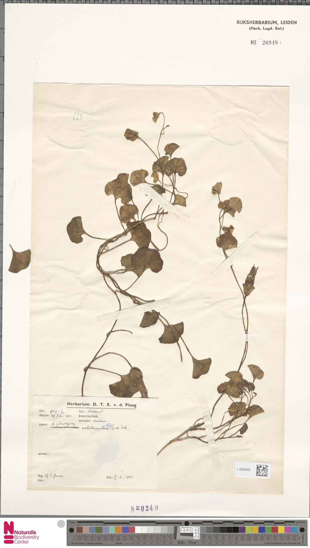 L.3363945 | Calystegia soldanella (L.) R.Br.