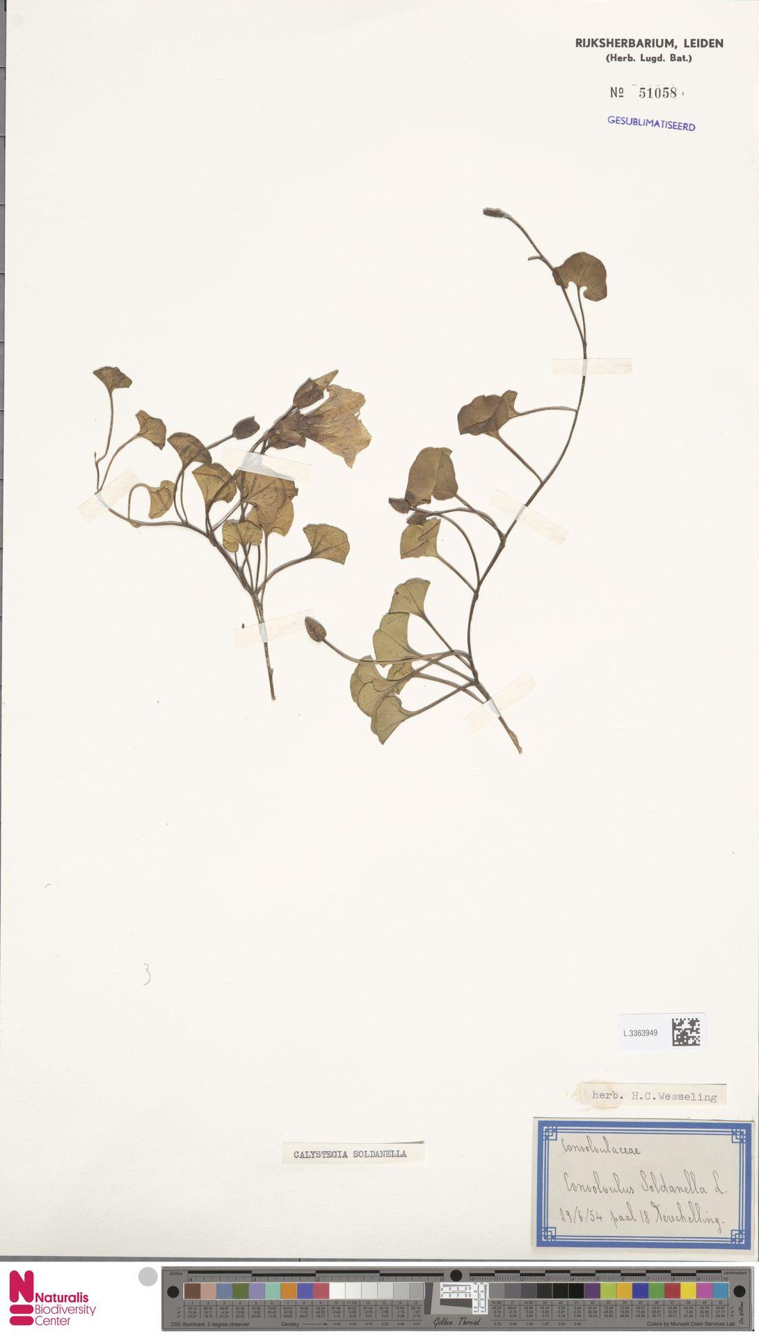 L.3363949 | Calystegia soldanella (L.) R.Br.