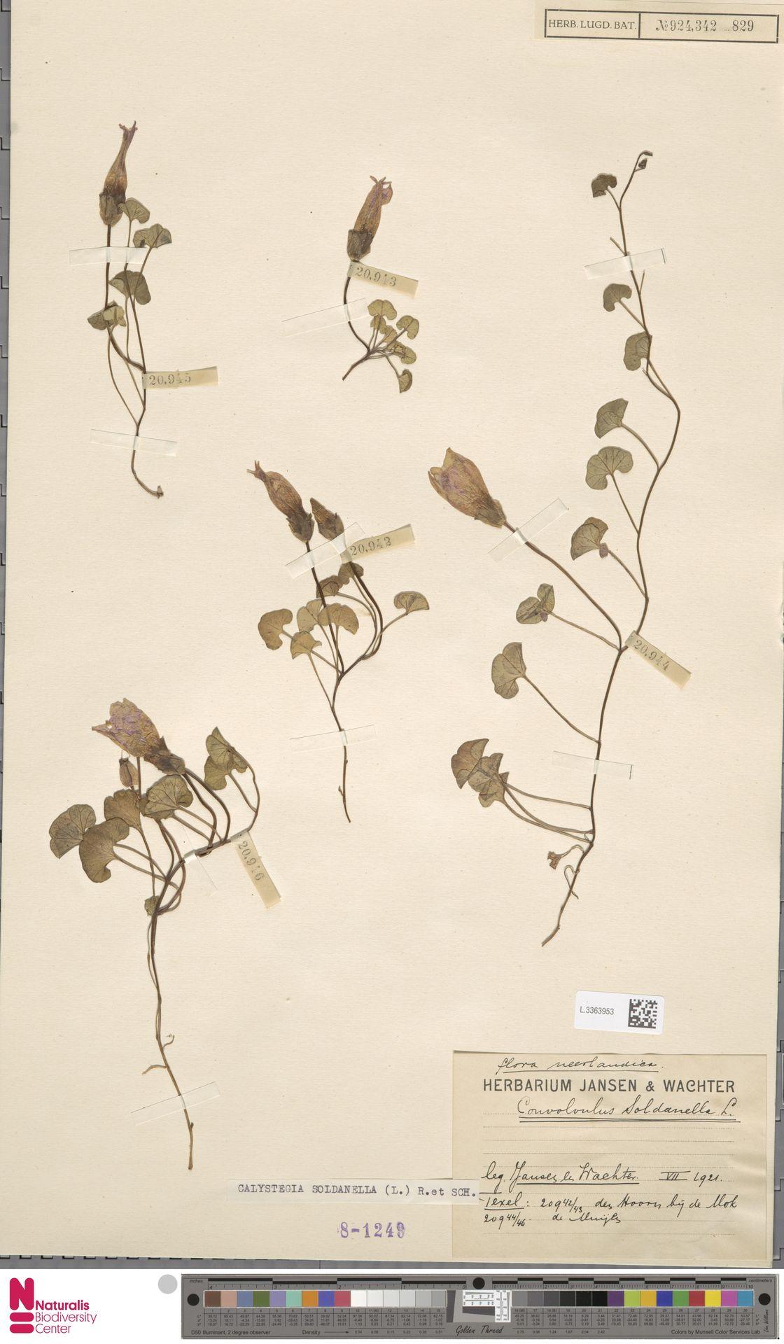 L.3363953 | Calystegia soldanella (L.) R.Br.