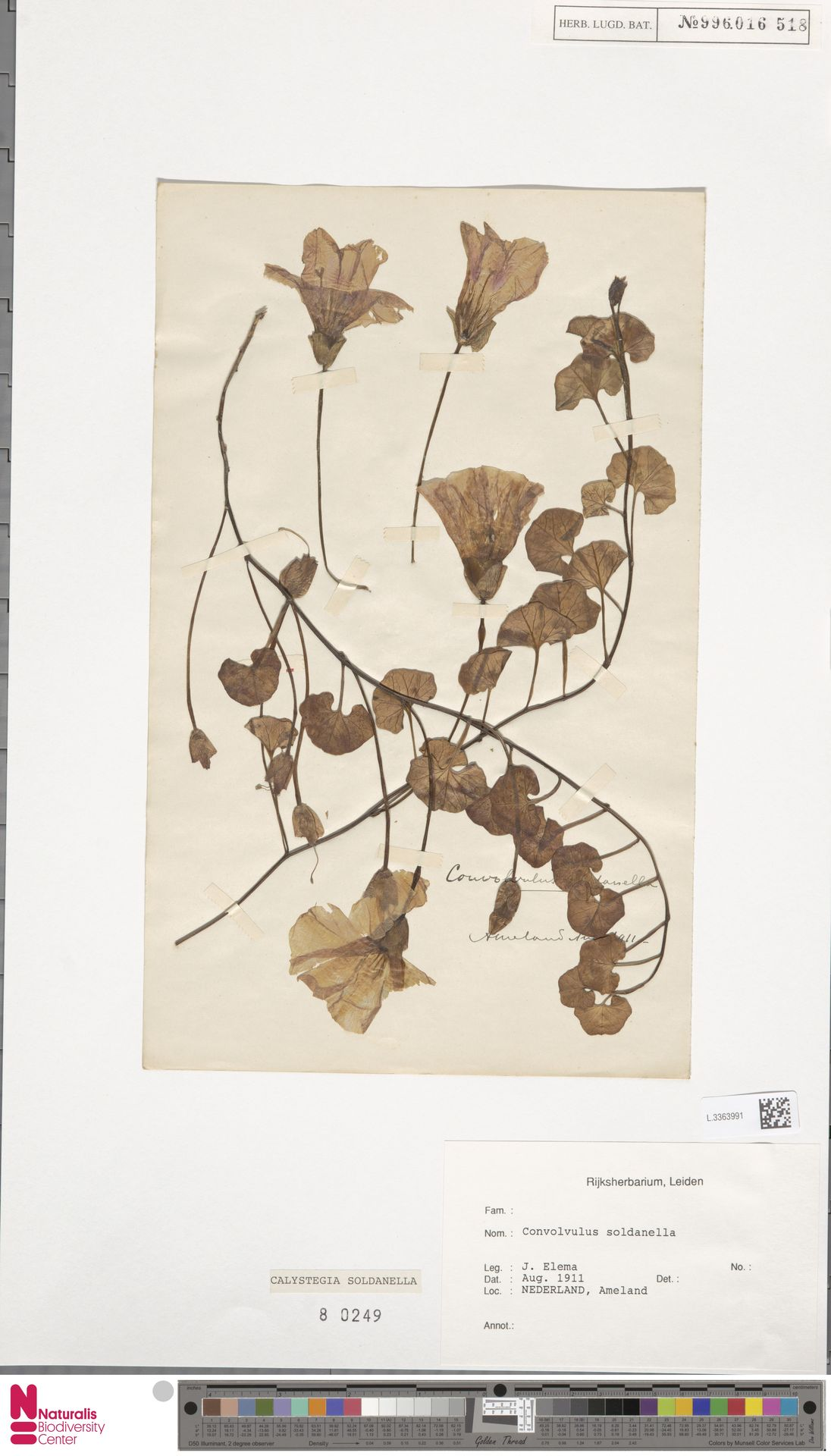L.3363991 | Calystegia soldanella (L.) R.Br.