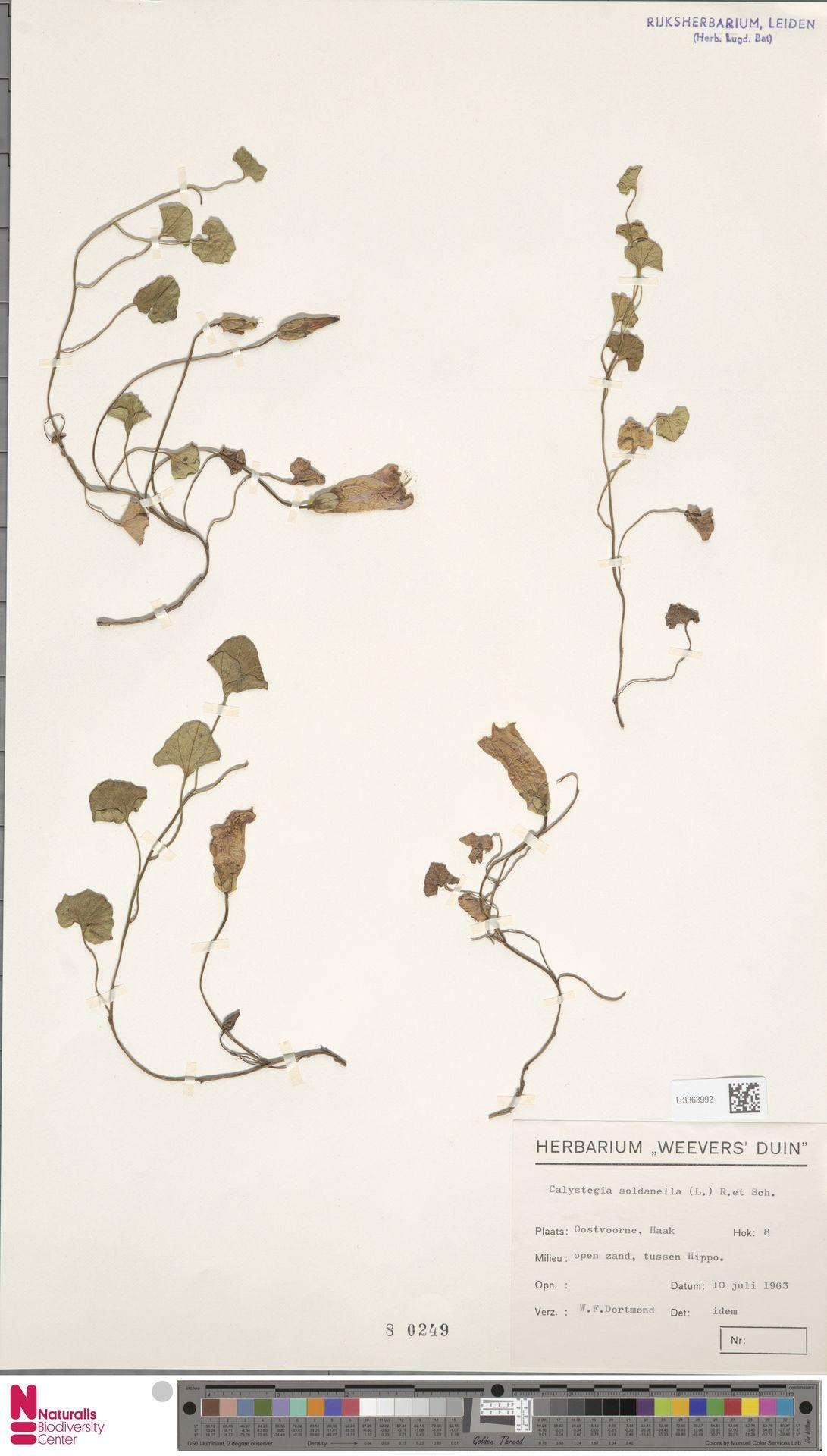 L.3363992 | Calystegia soldanella (L.) R.Br.