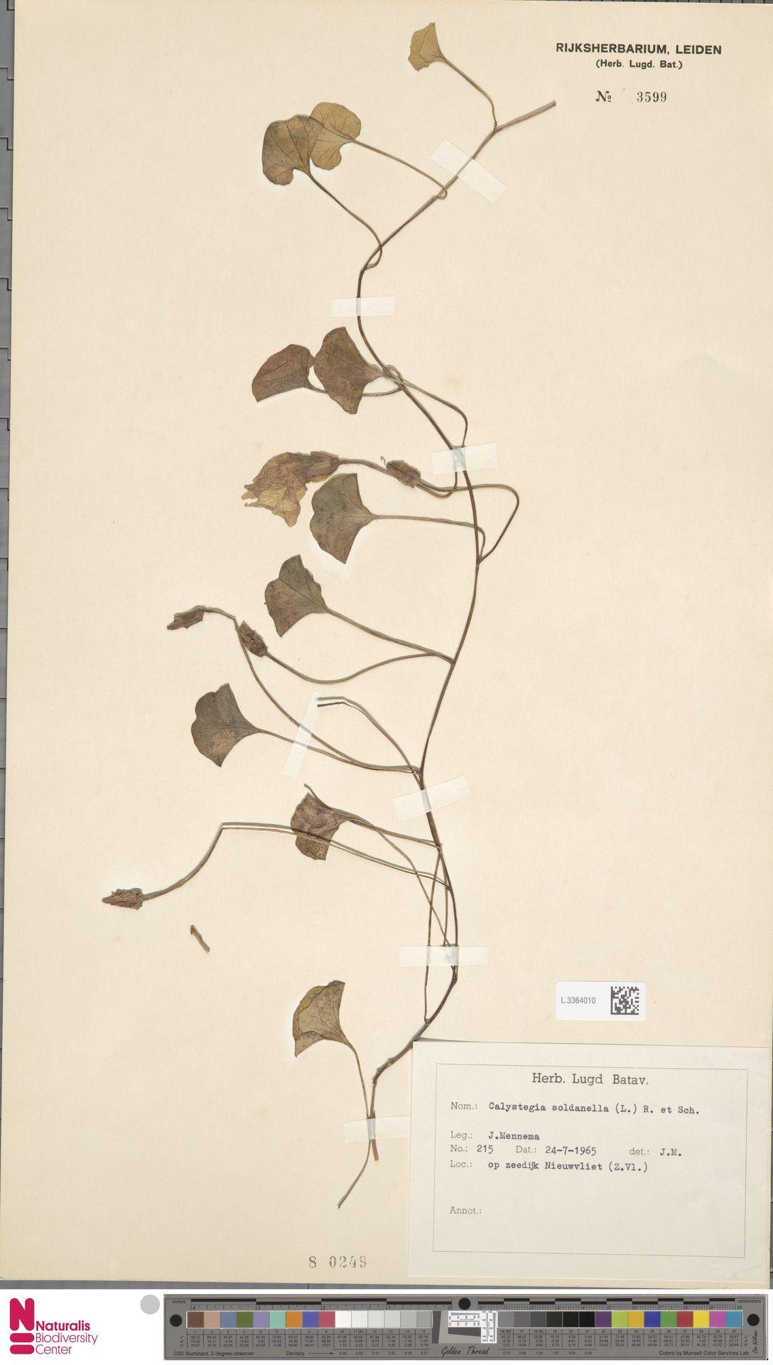 L.3364010 | Calystegia soldanella (L.) R.Br.