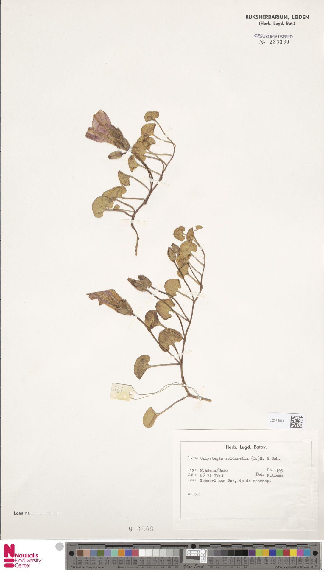L.3364011 | Calystegia soldanella (L.) R.Br.