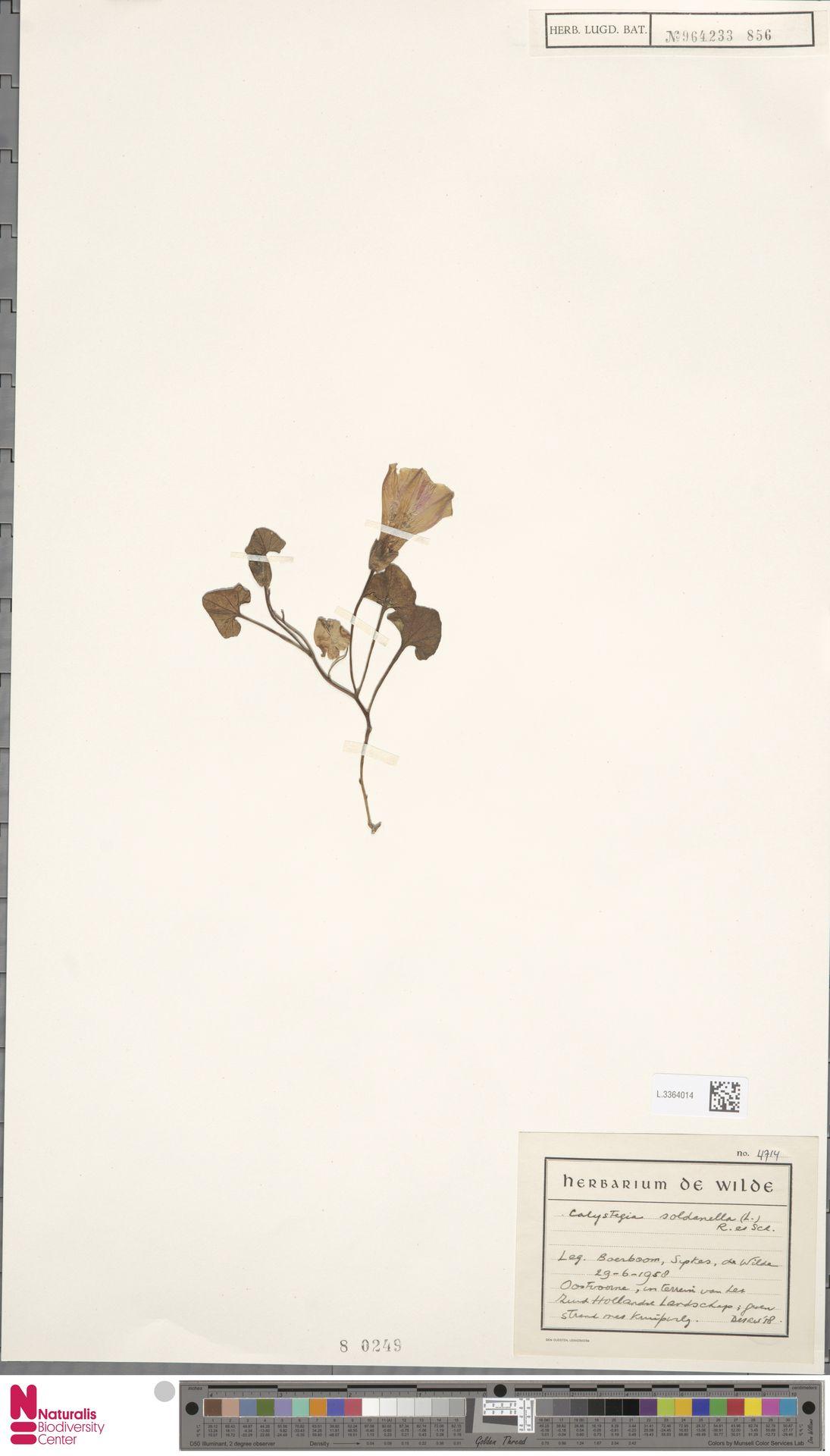 L.3364014 | Calystegia soldanella (L.) R.Br.