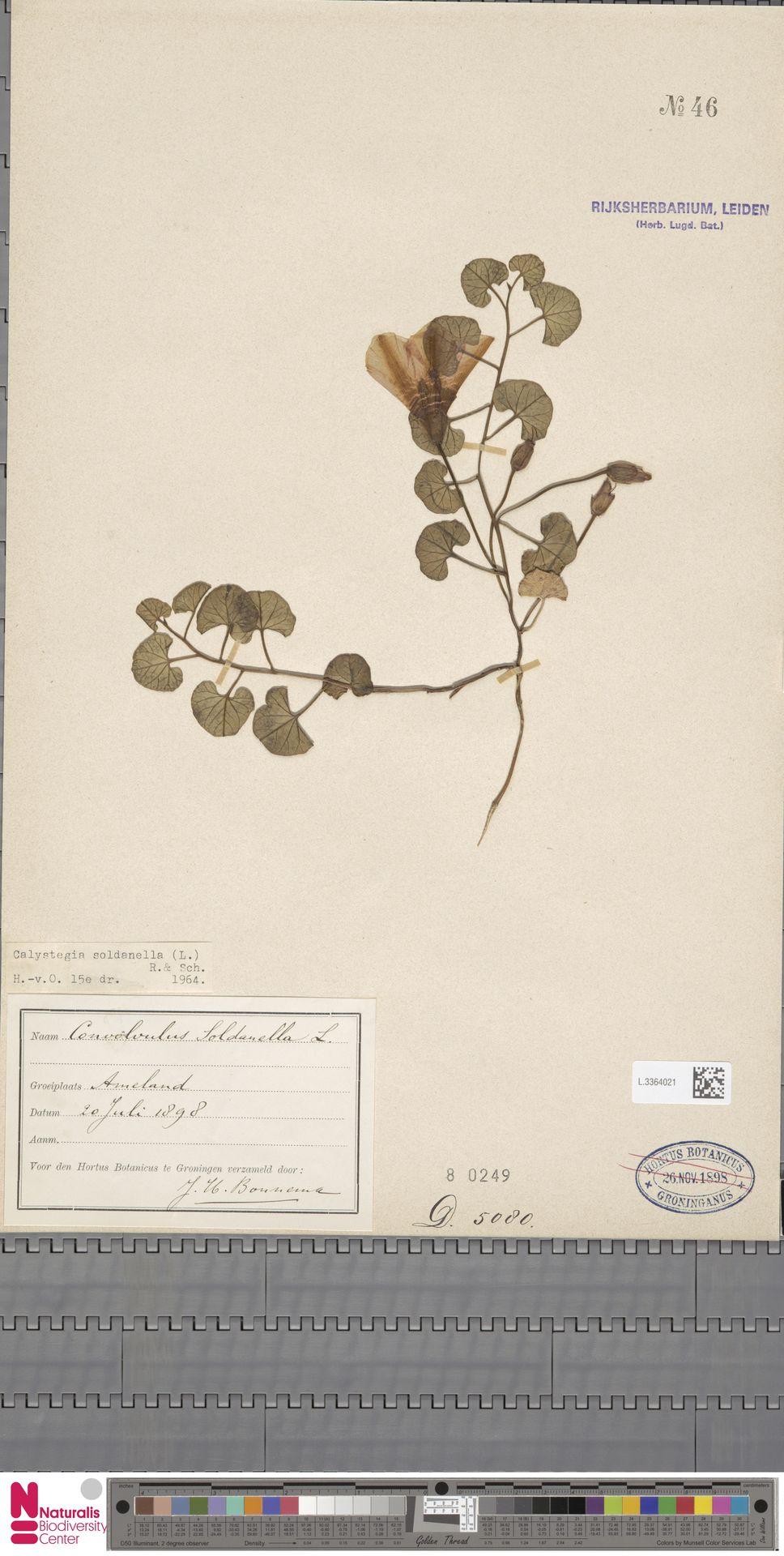 L.3364021 | Calystegia soldanella (L.) R.Br.