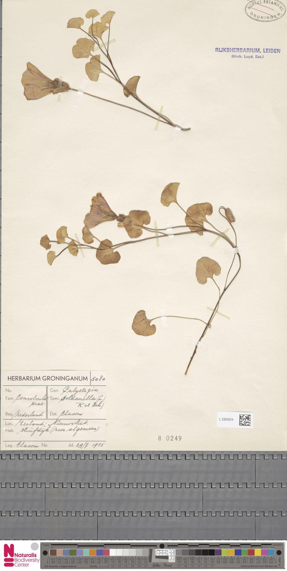 L.3364024 | Calystegia soldanella (L.) R.Br.