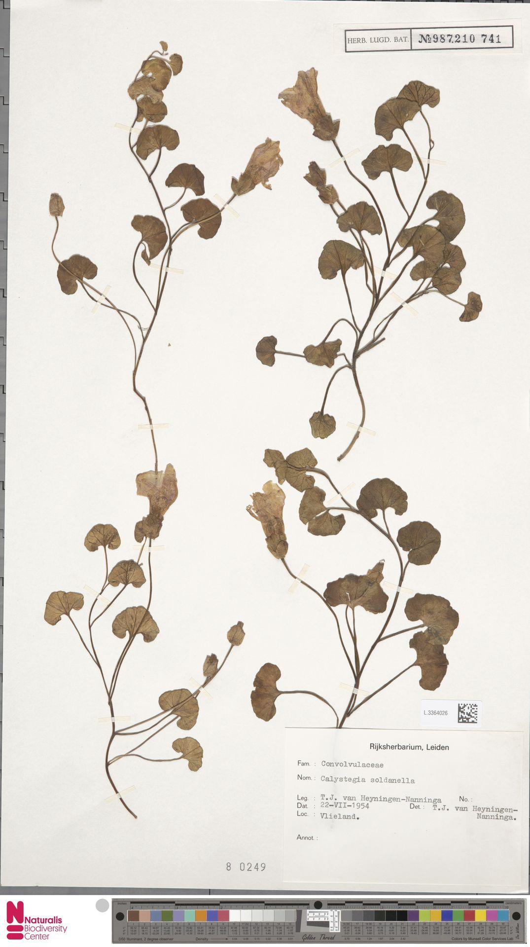 L.3364026 | Calystegia soldanella (L.) R.Br.