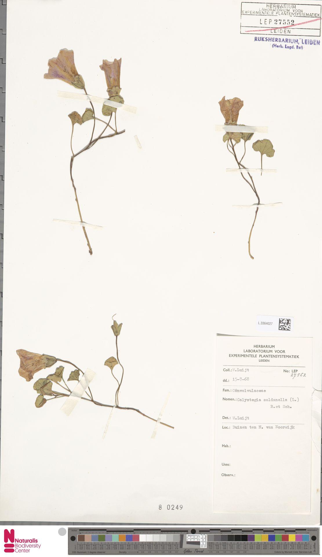 L.3364027 | Calystegia soldanella (L.) R.Br.