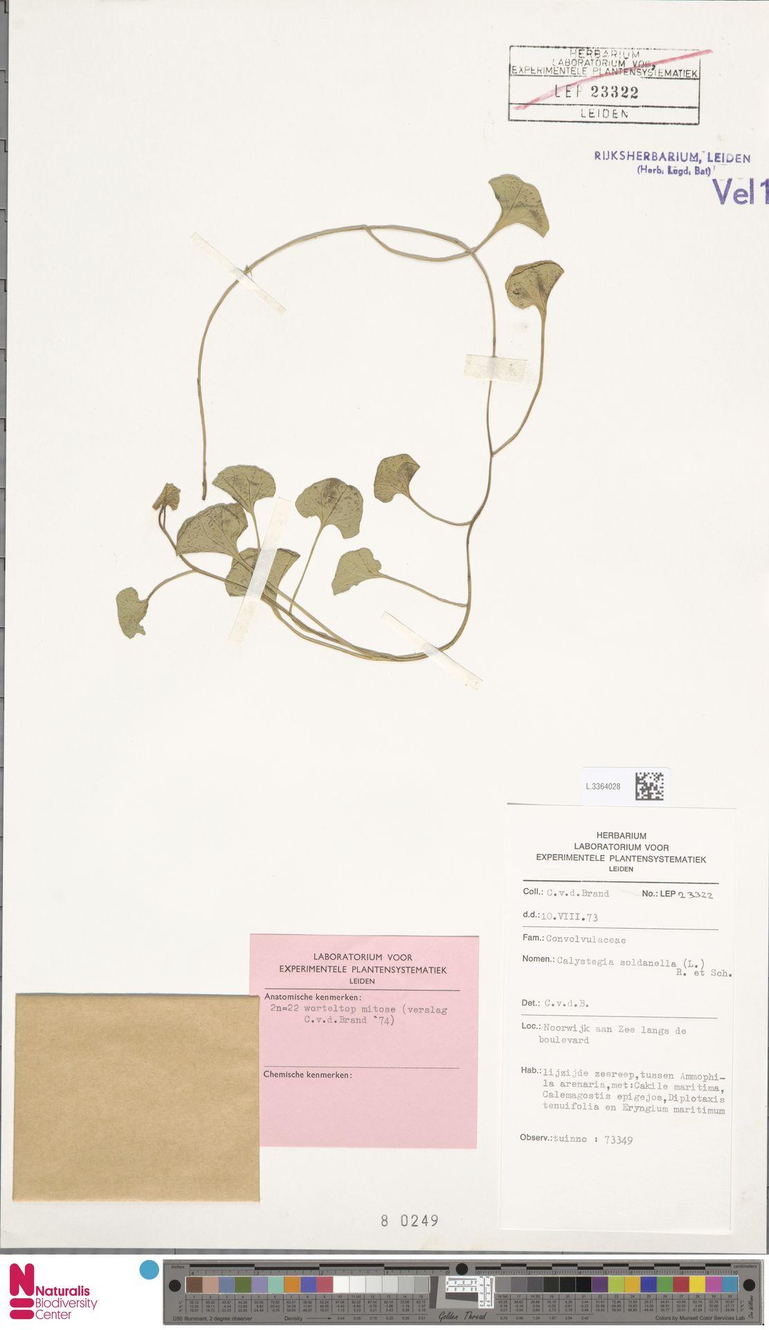 L.3364028 | Calystegia soldanella (L.) R.Br.