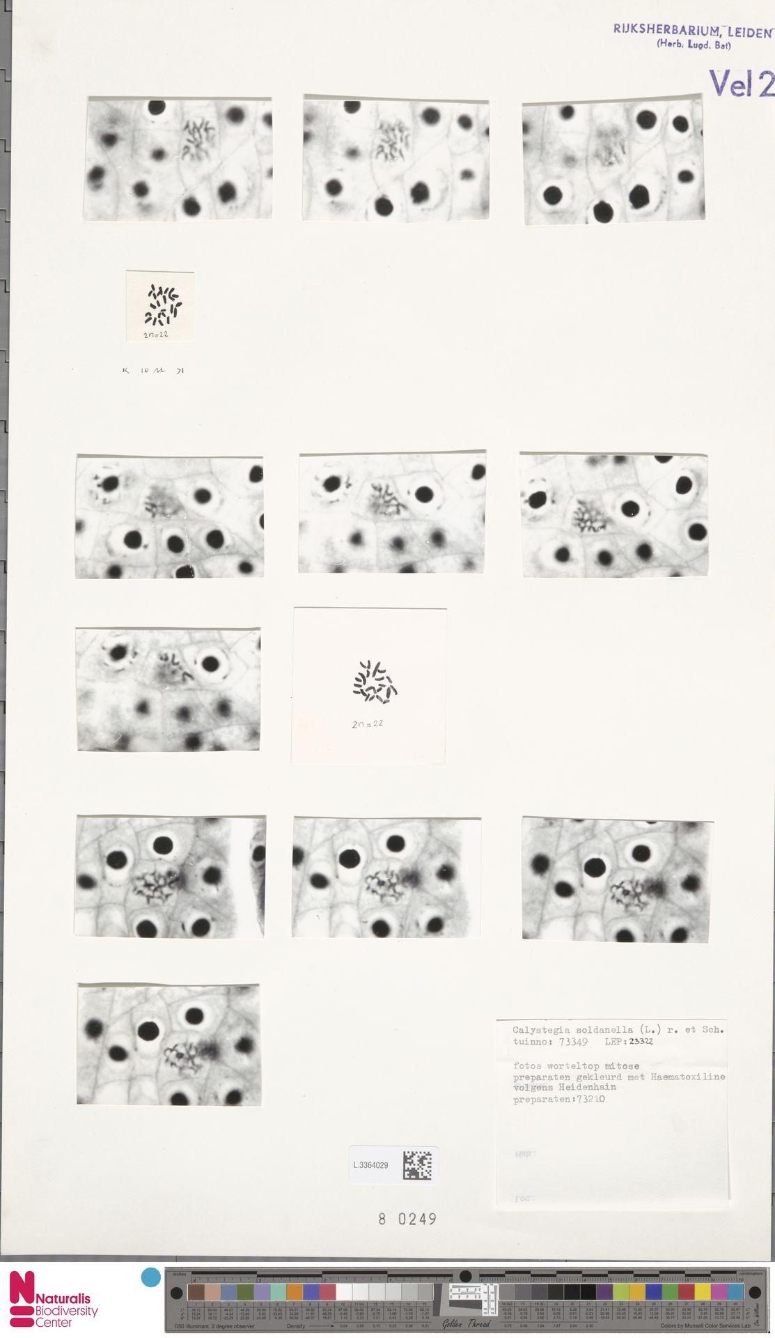 L.3364029 | Calystegia soldanella (L.) R.Br.