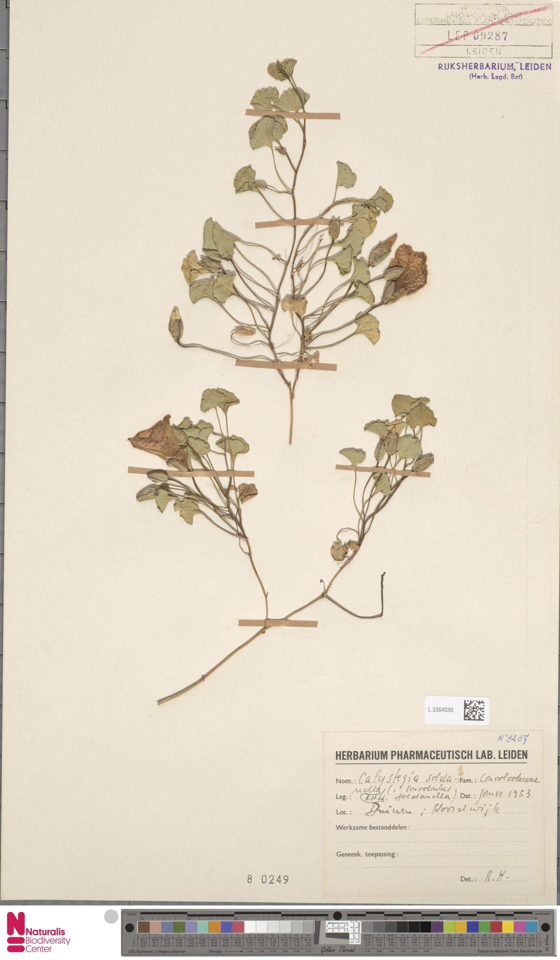 L.3364030 | Calystegia soldanella (L.) R.Br.